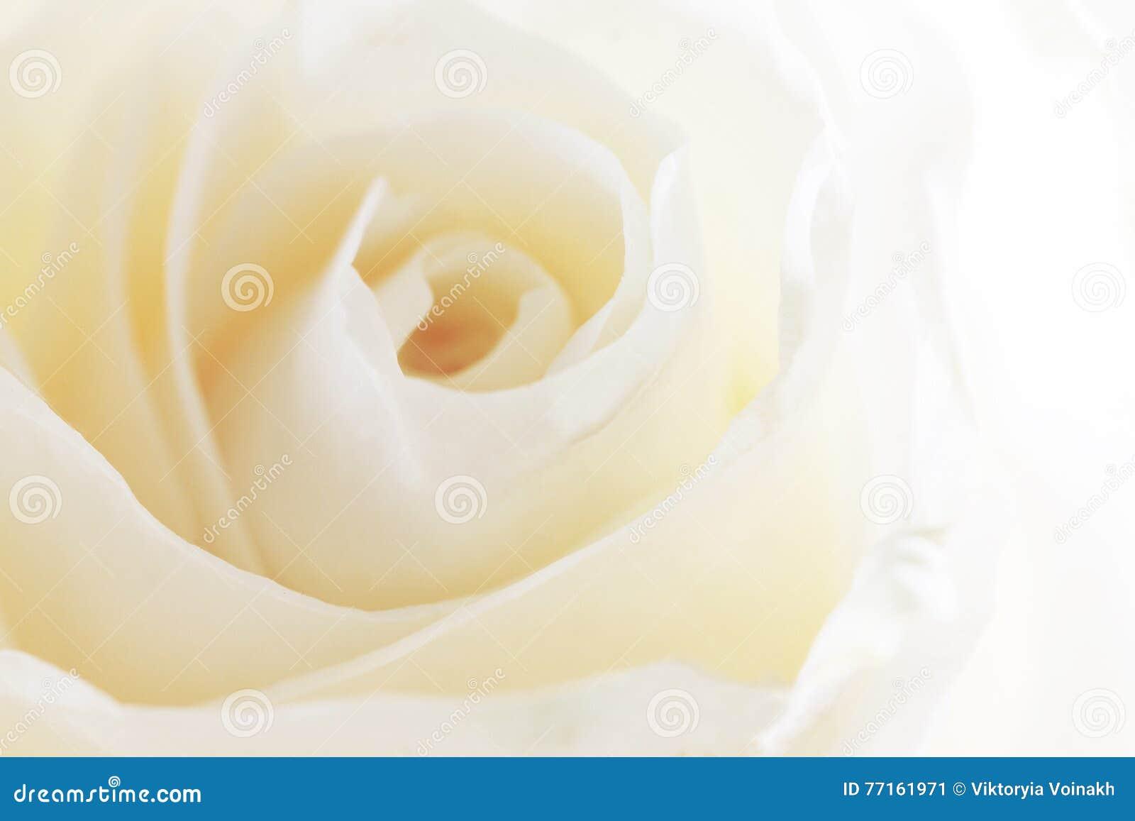 Fond rose de blanc
