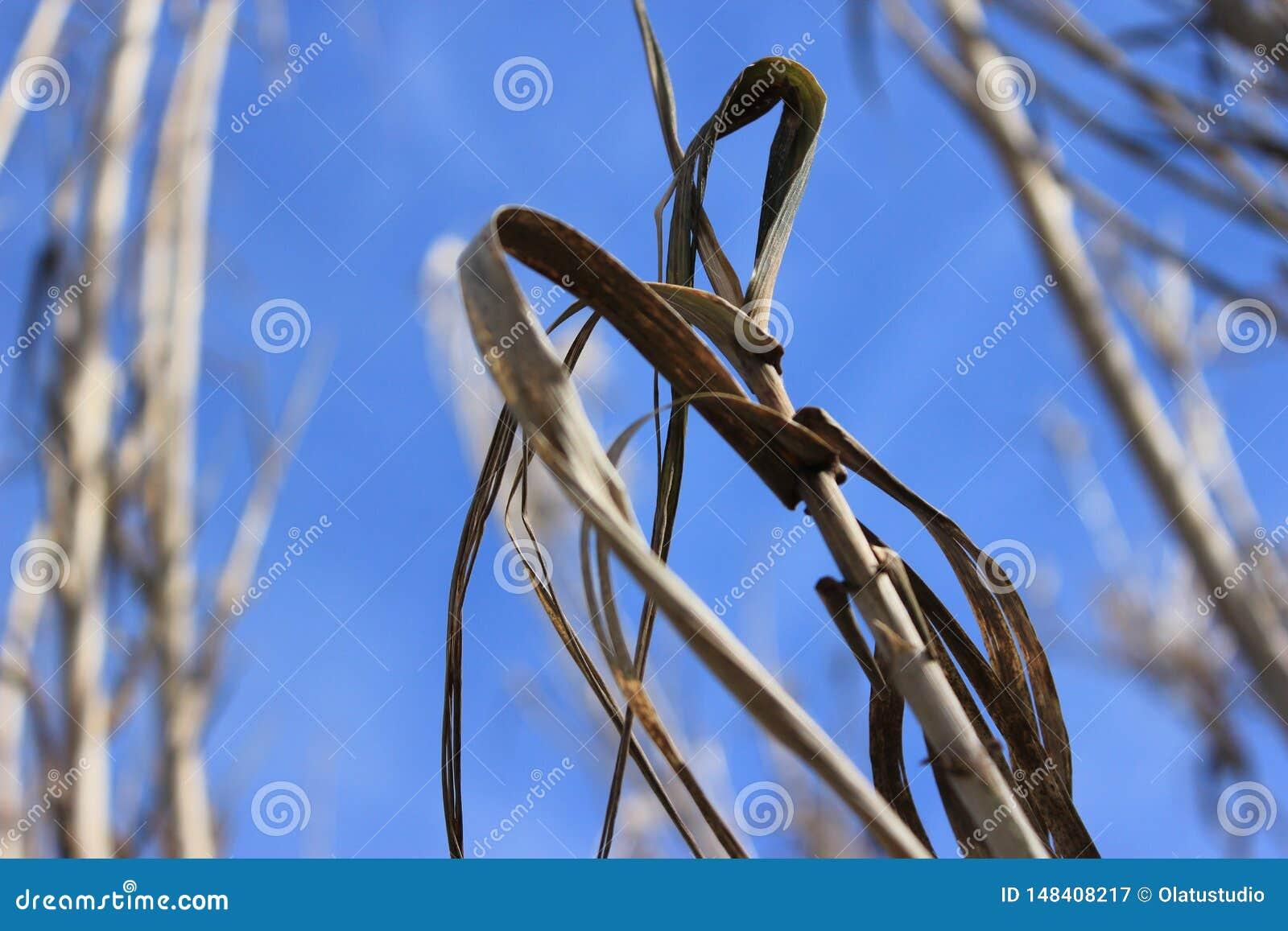 Fond sec de ciel d usine de blé de culture