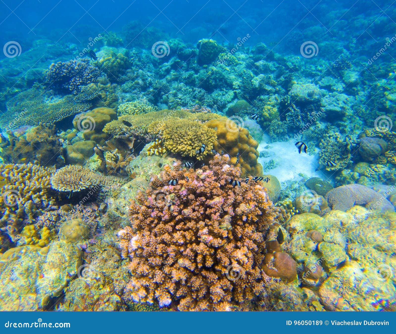 Fond sous-marin de récif coralien Formes de corail diverses Poissons de corail en récif