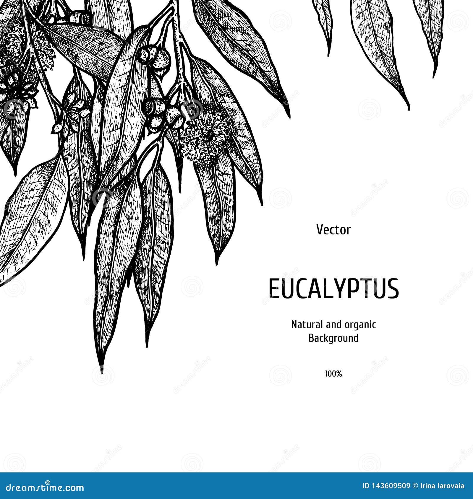Fond tiré par la main d eucalyptus Modèle de fines herbes Croquis de vecteur d usine Conception de disposition pour l empaquetage