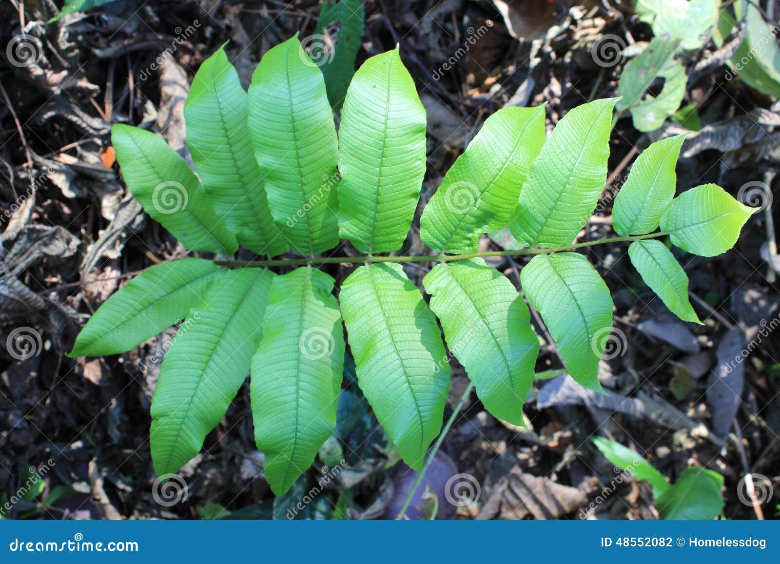 Fond tropical de feuillage vert de feuilles de foug res la for Plante jungle