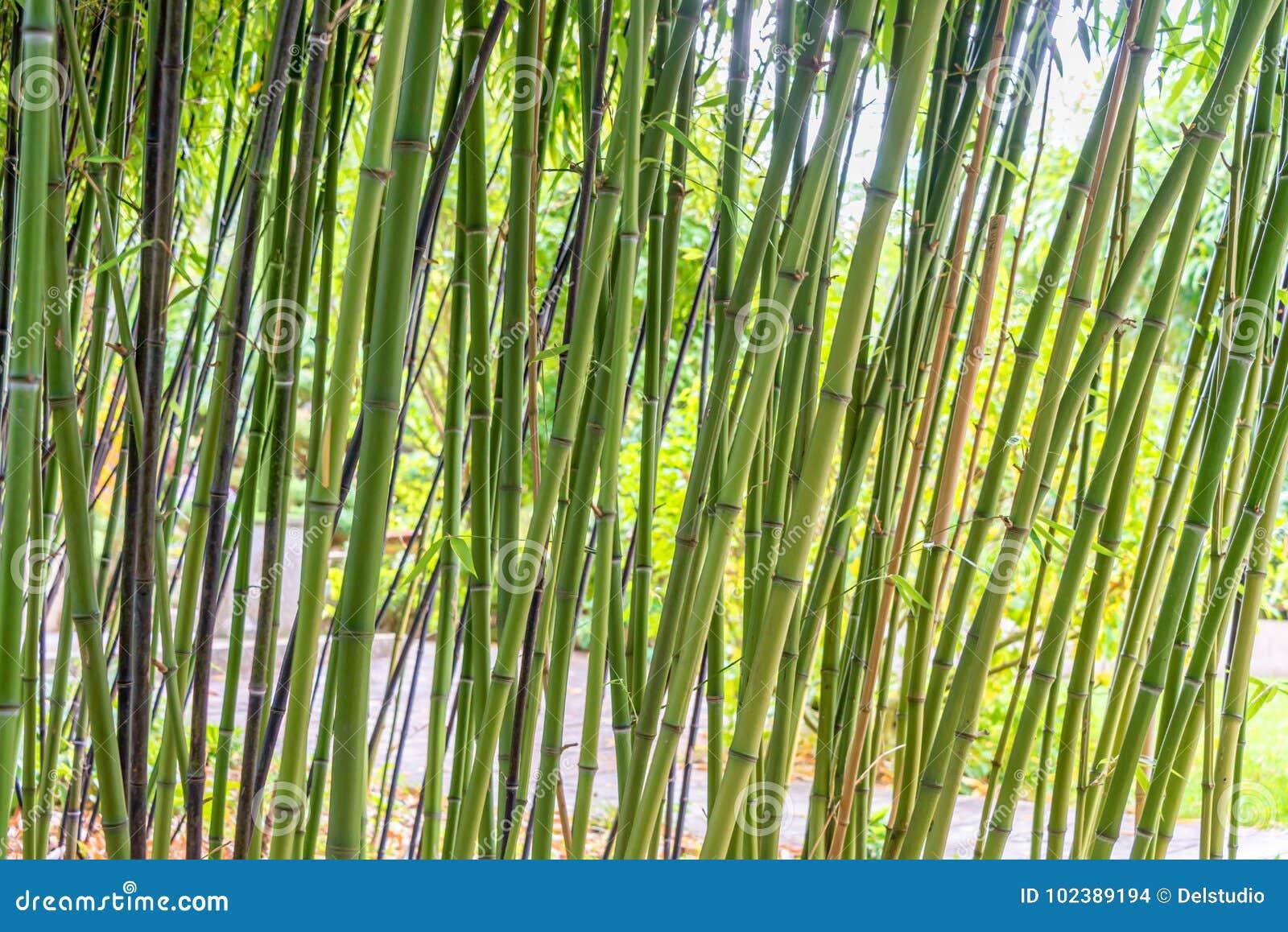 Fond vert de bambous