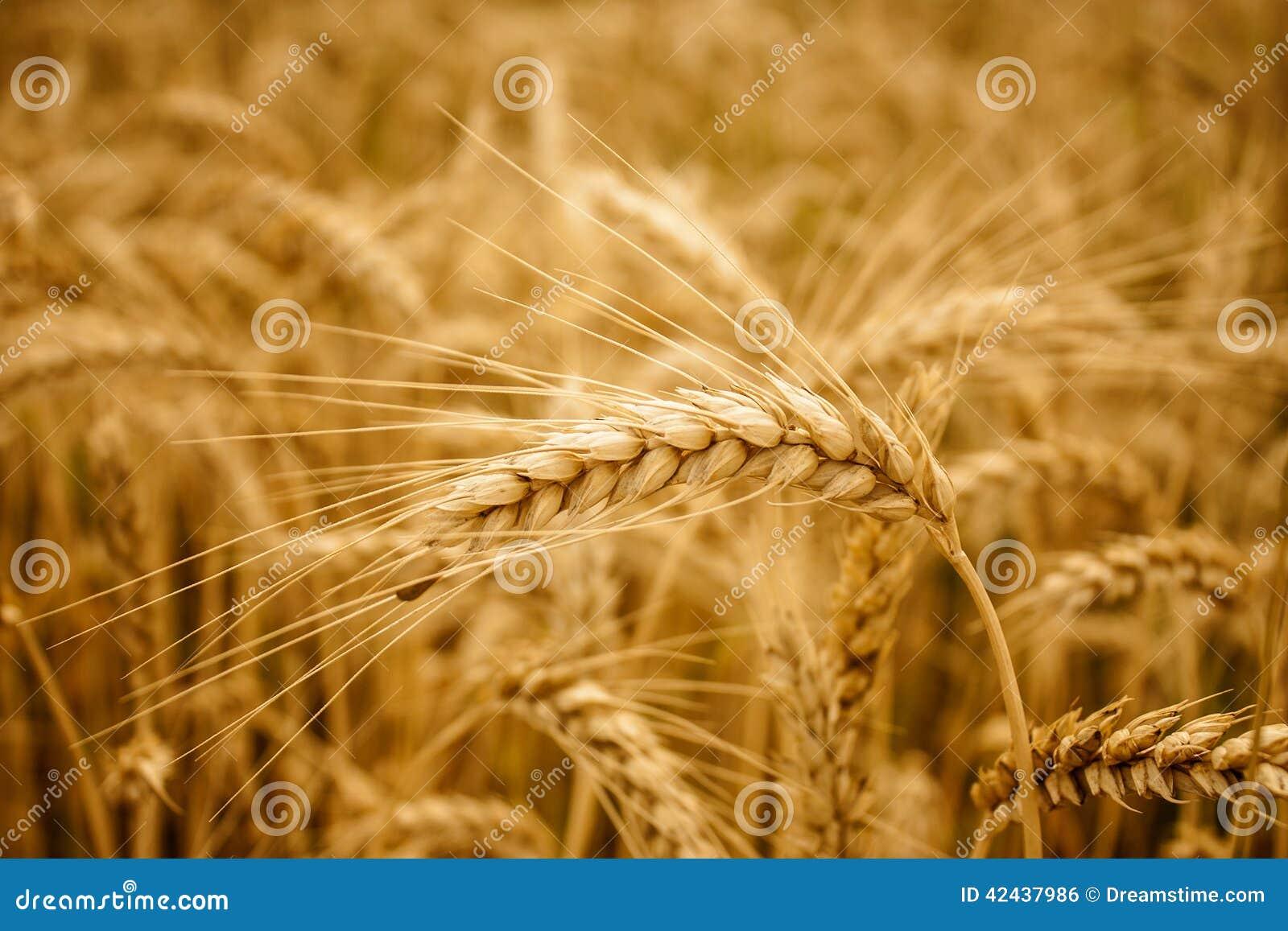 Fondo amarillo del campo de los oídos del trigo