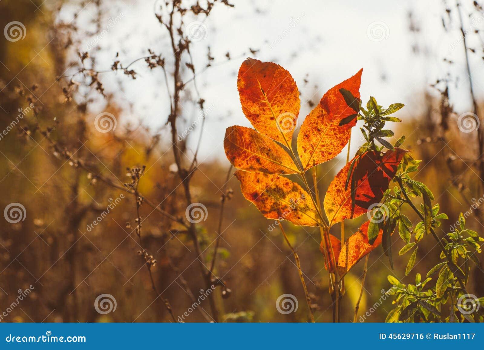 Fondo astratto del fogliame, bello ramo di albero in foresta autunnale, luce calda luminosa del sole, foglie di acero asciutte ar