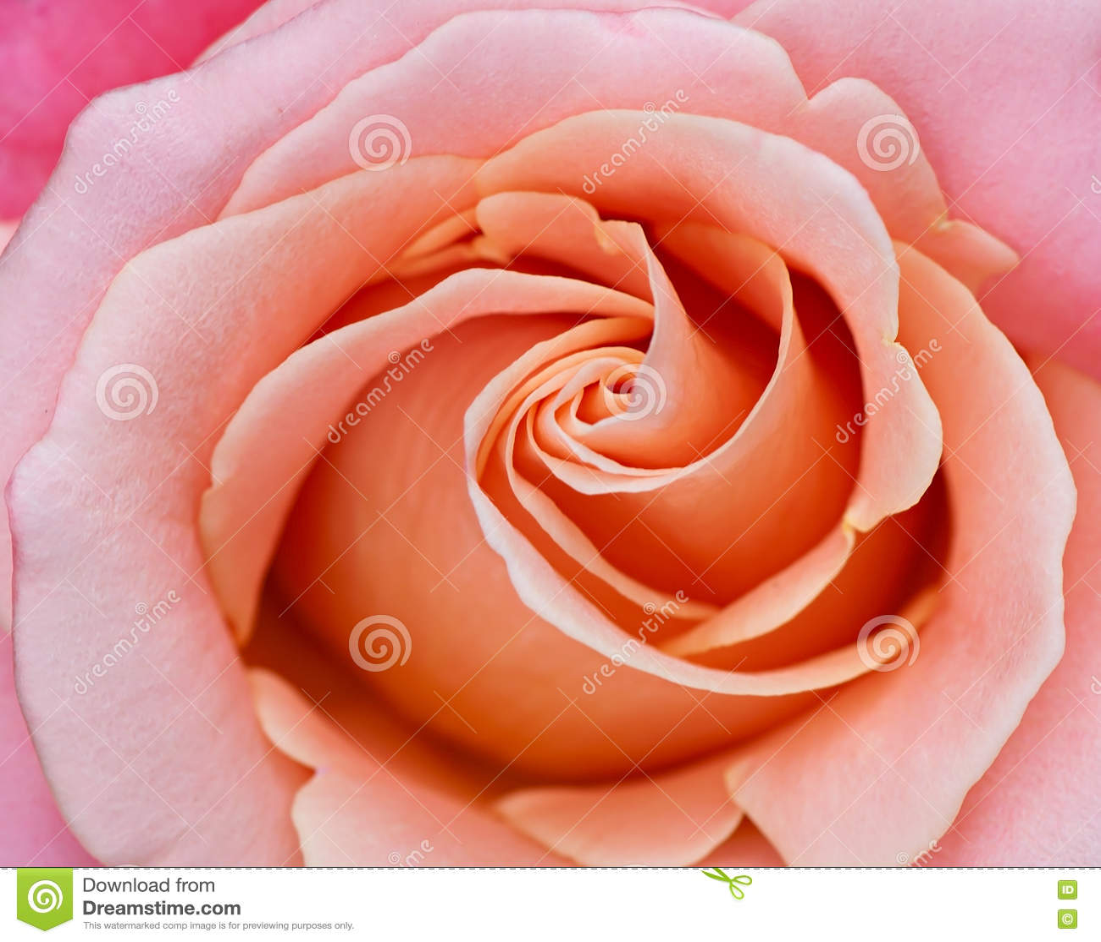 Fondo astratto di una rosa