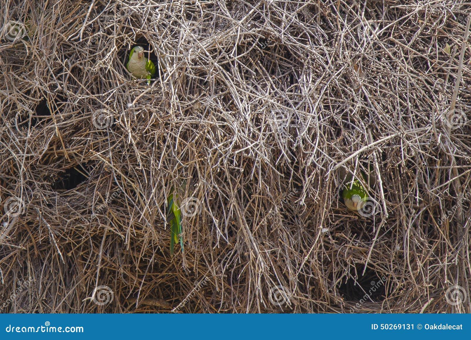 Fondo astratto: Primo piano di Gray Cheeked Parakeets in nido