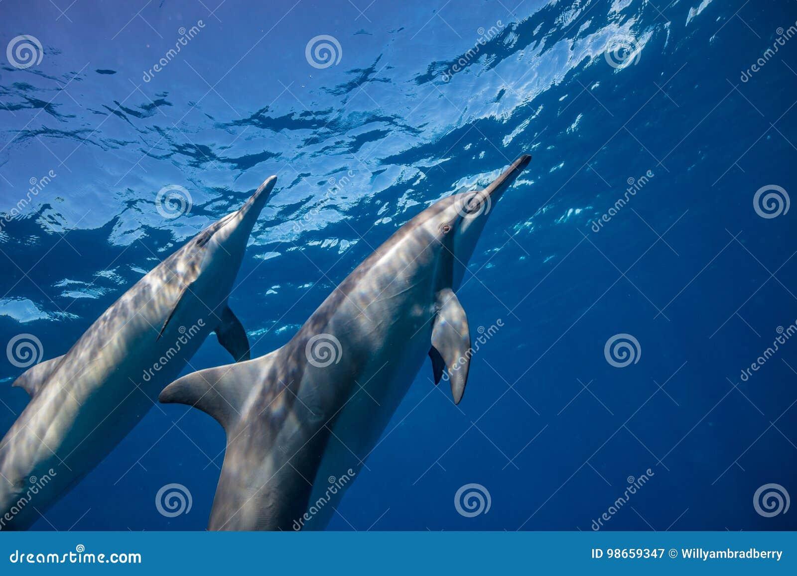 Fondo azul del agua del océano con los delfínes salvajes
