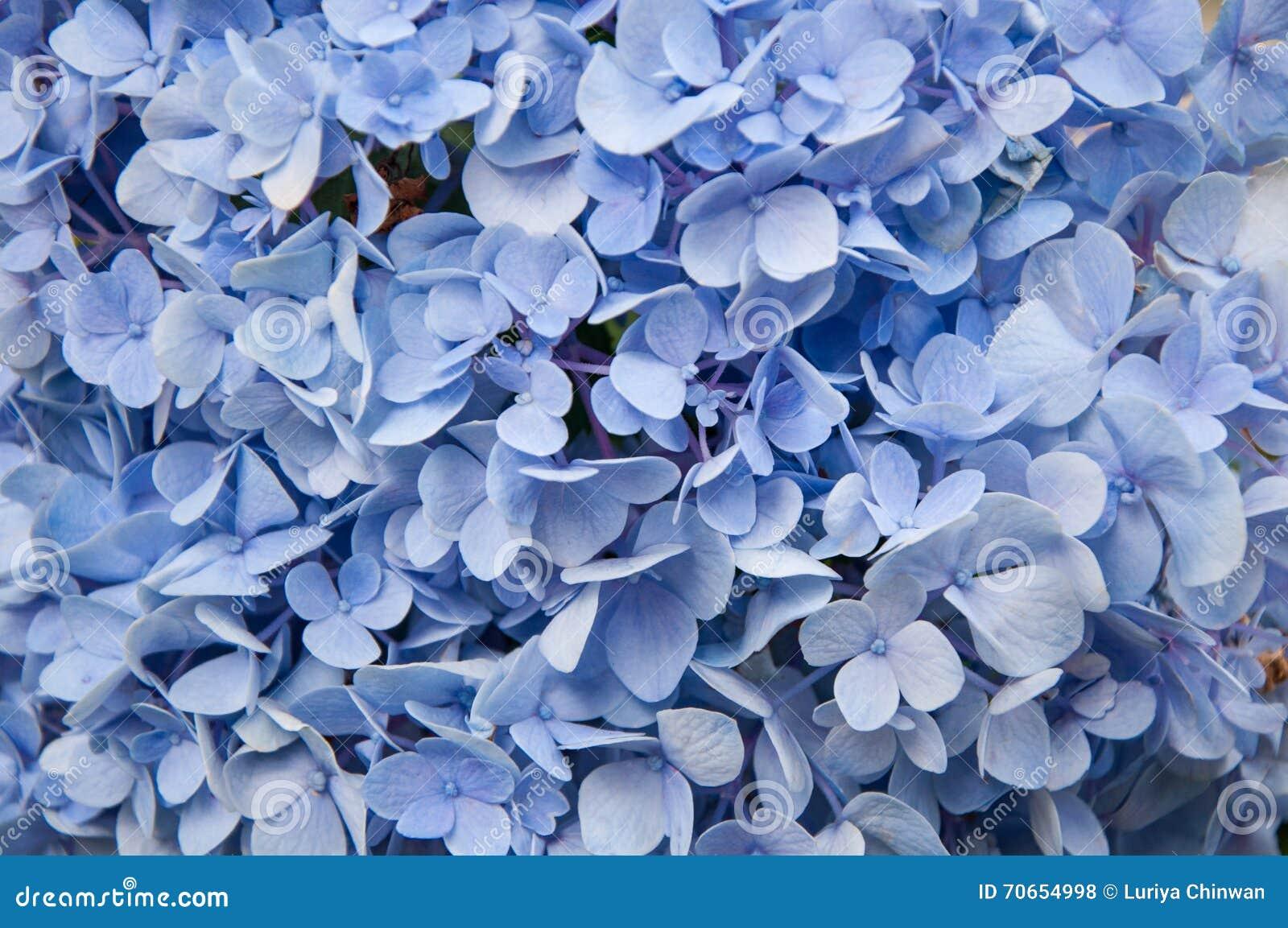 Fondo Azul Hermoso De La Flor De Las Hortensias Color Natural Foto - Color-de-las-hortensias
