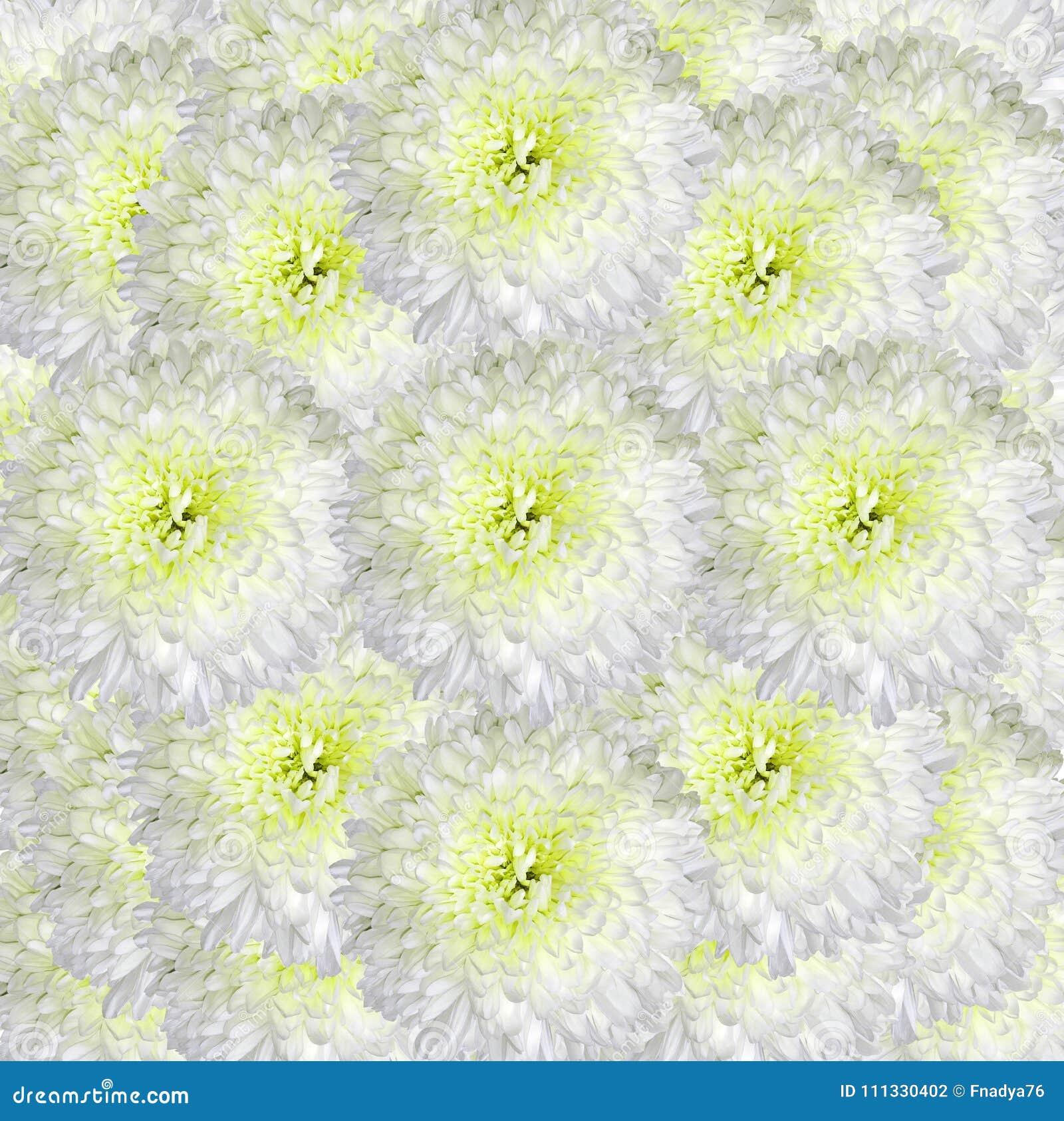 Fiori Bianchi Leggeri.Fondo Bianco Giallo Floreale Fiori Del Mazzo Dei Crisantemi