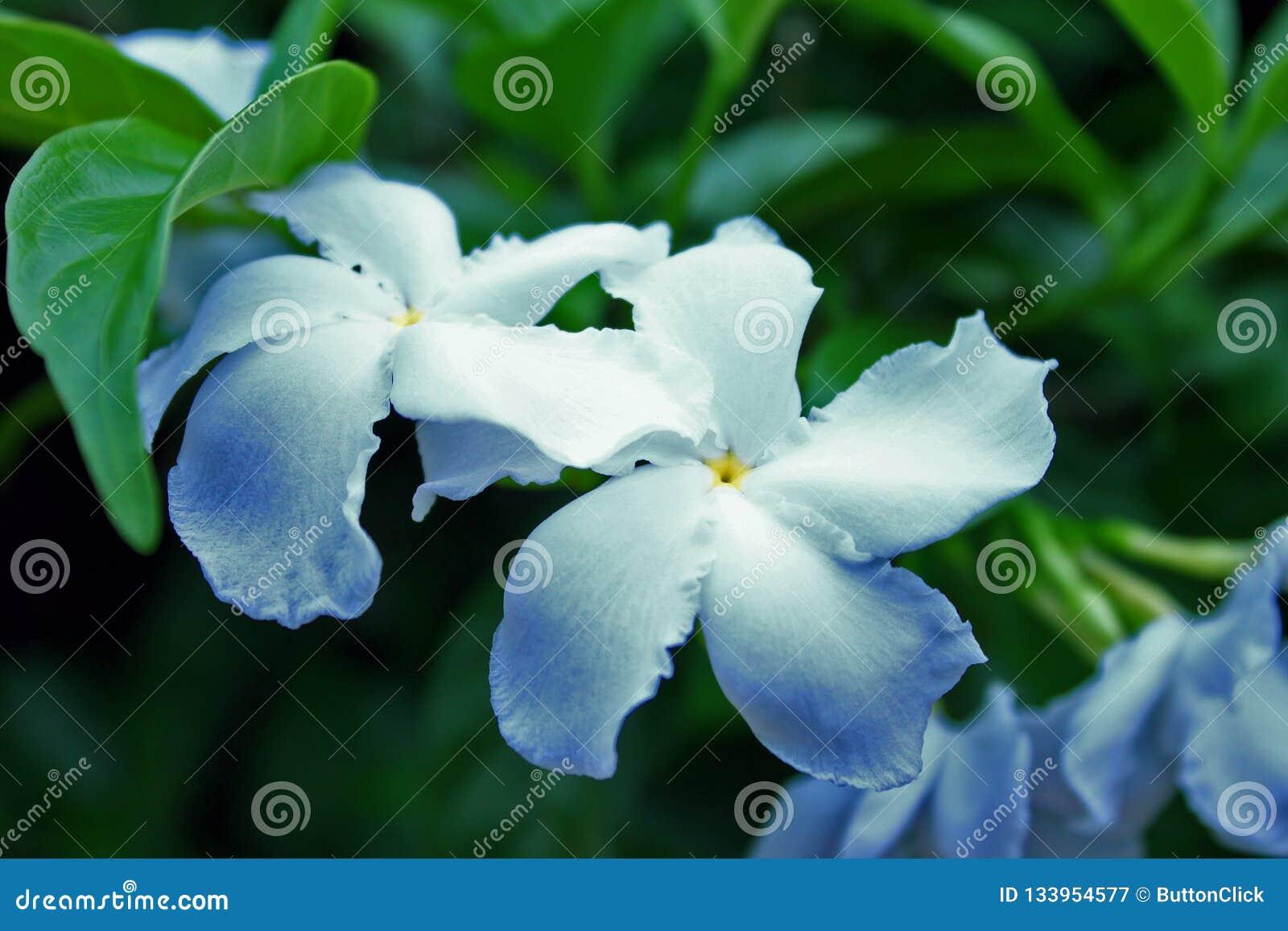 Fondo borroso apacible de la flor blanca del bígaro