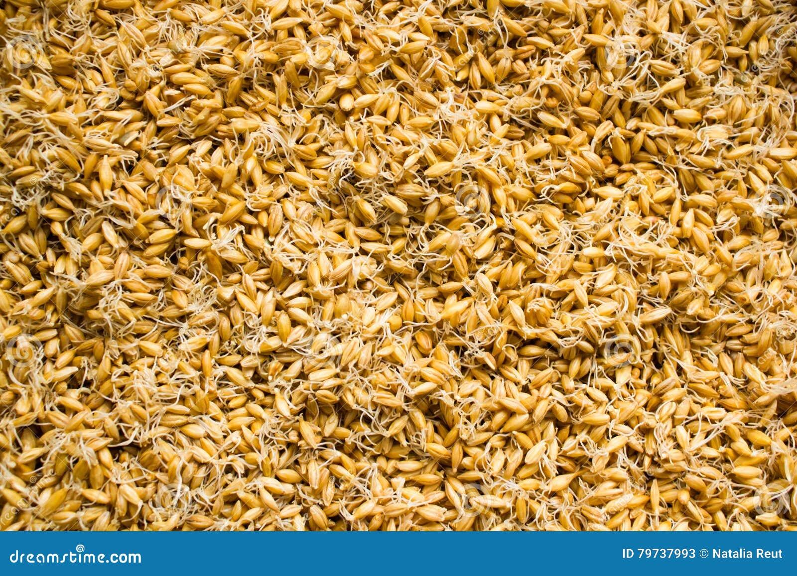 Fondo brotado de los granos Consumición sana