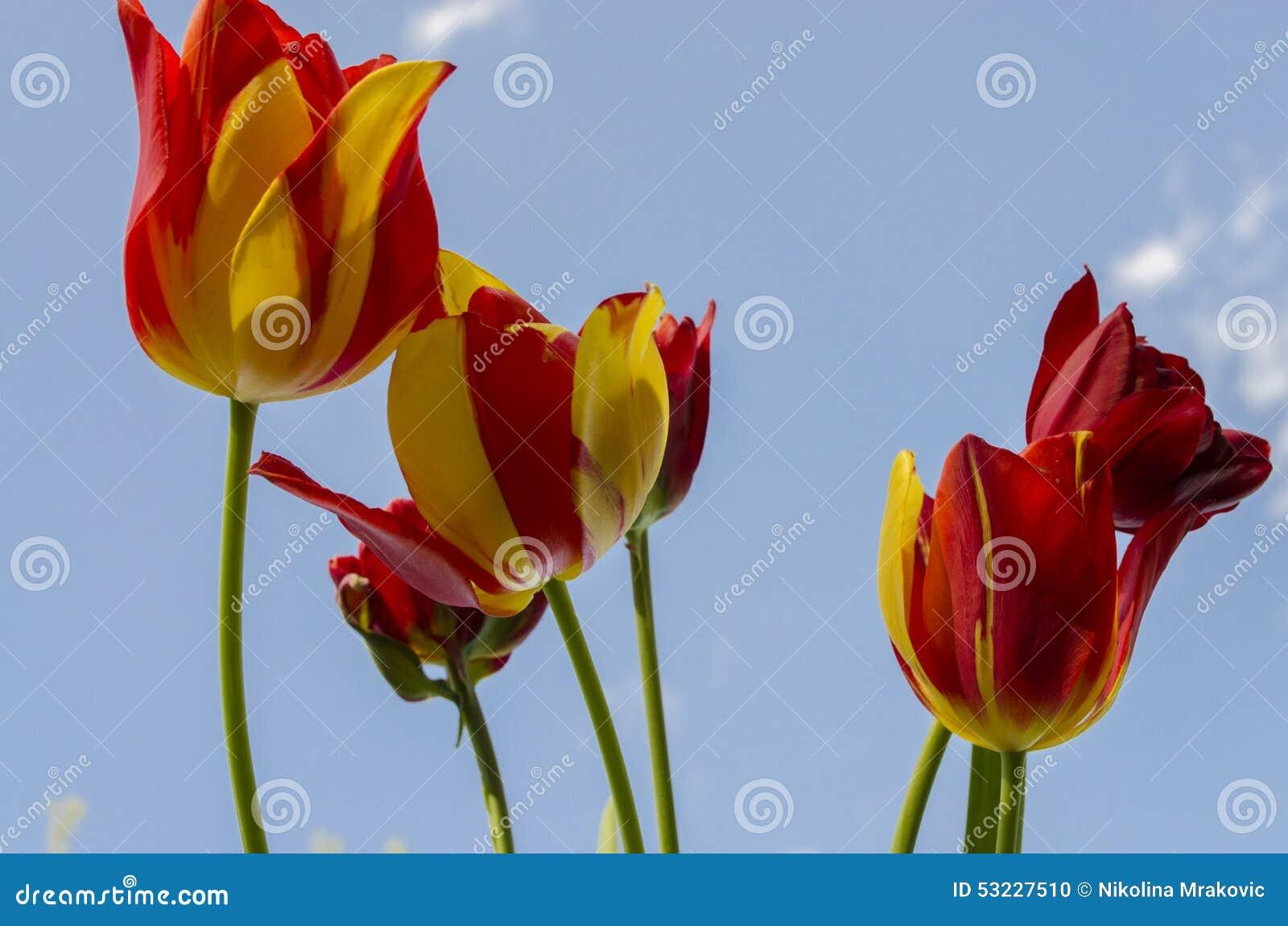 Fondo colorido amarillo rojo de los tulipanes