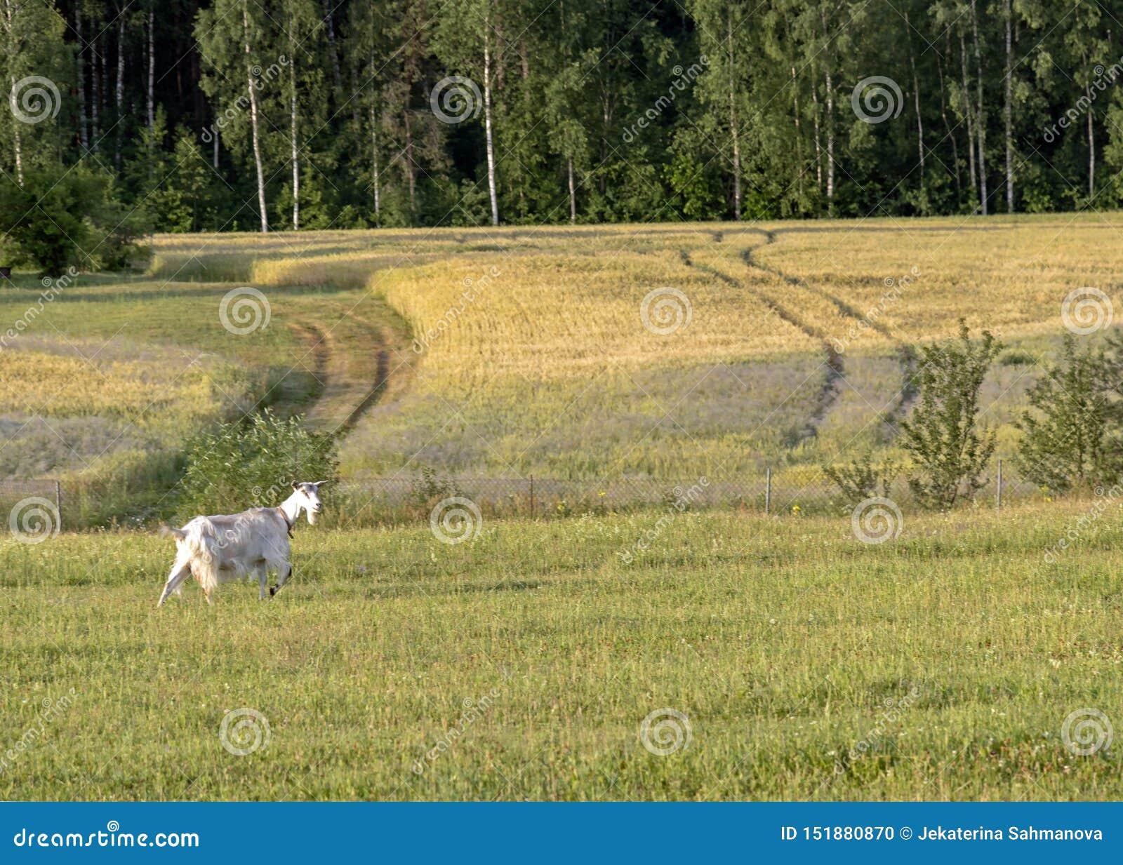 Fondo con la cabra femenina blanca en granja orgánica sostenible con los campos verdes debajo del cielo azul