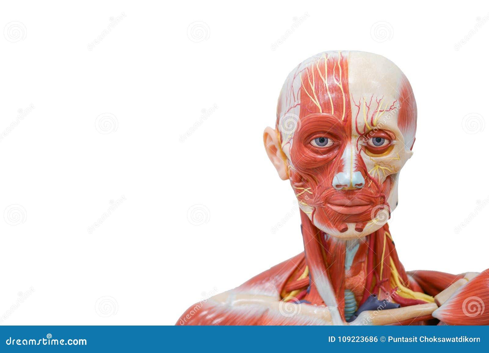 Fondo De La Ciencia: Modelo De La Anatomía De La Cabeza Humana Foto ...