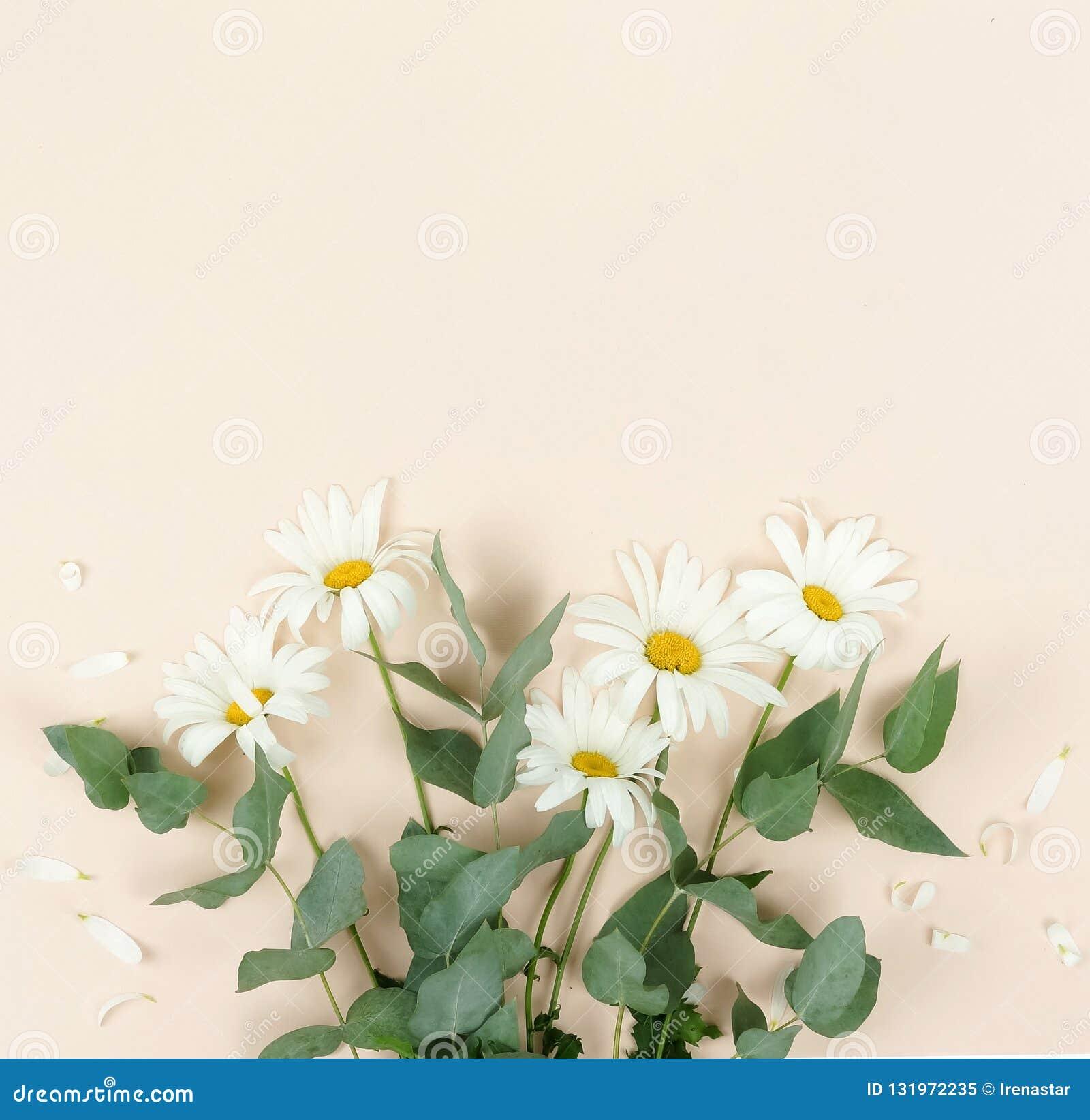 Fondo de la composición de las flores ramo de camomiles de las flores en fondo beige pálido