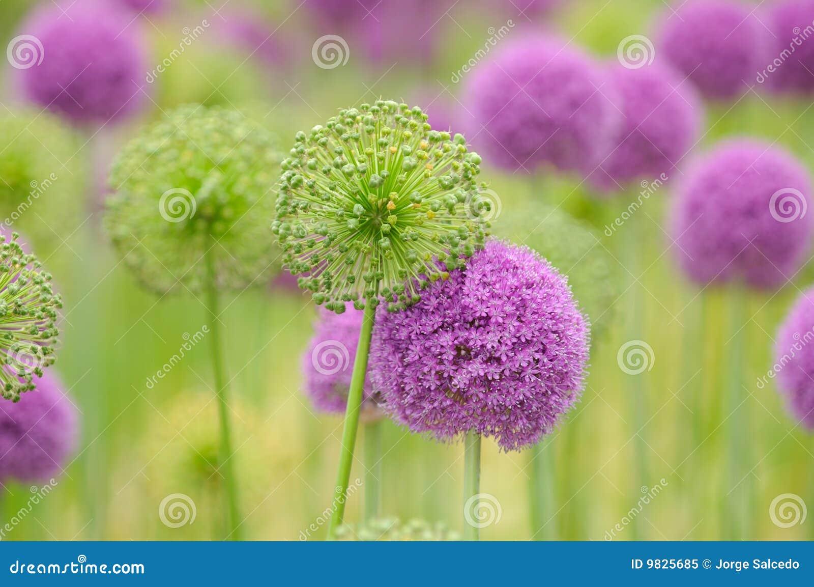 Fondo de la flor del allium