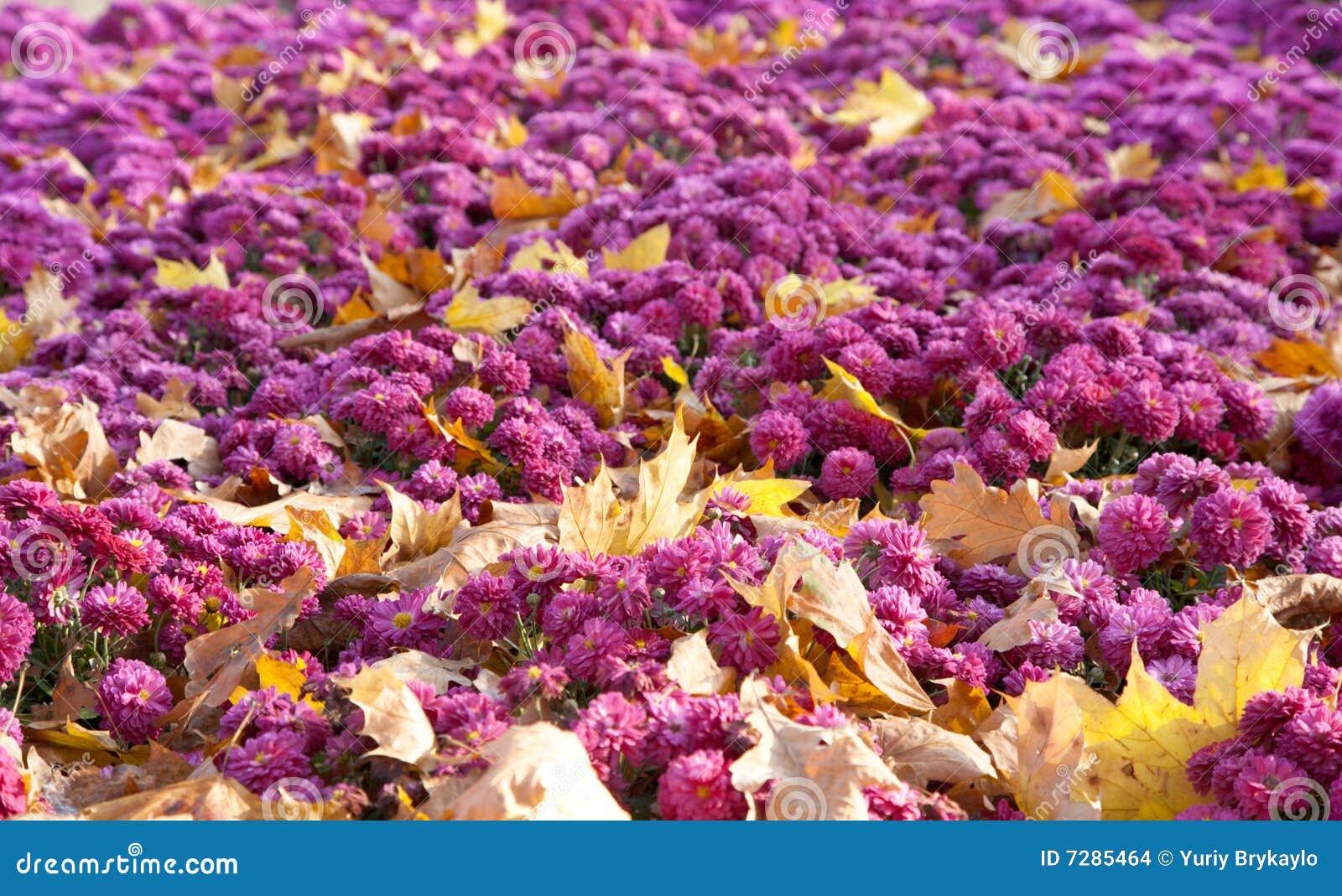 Fondo de la flor del crisantemo