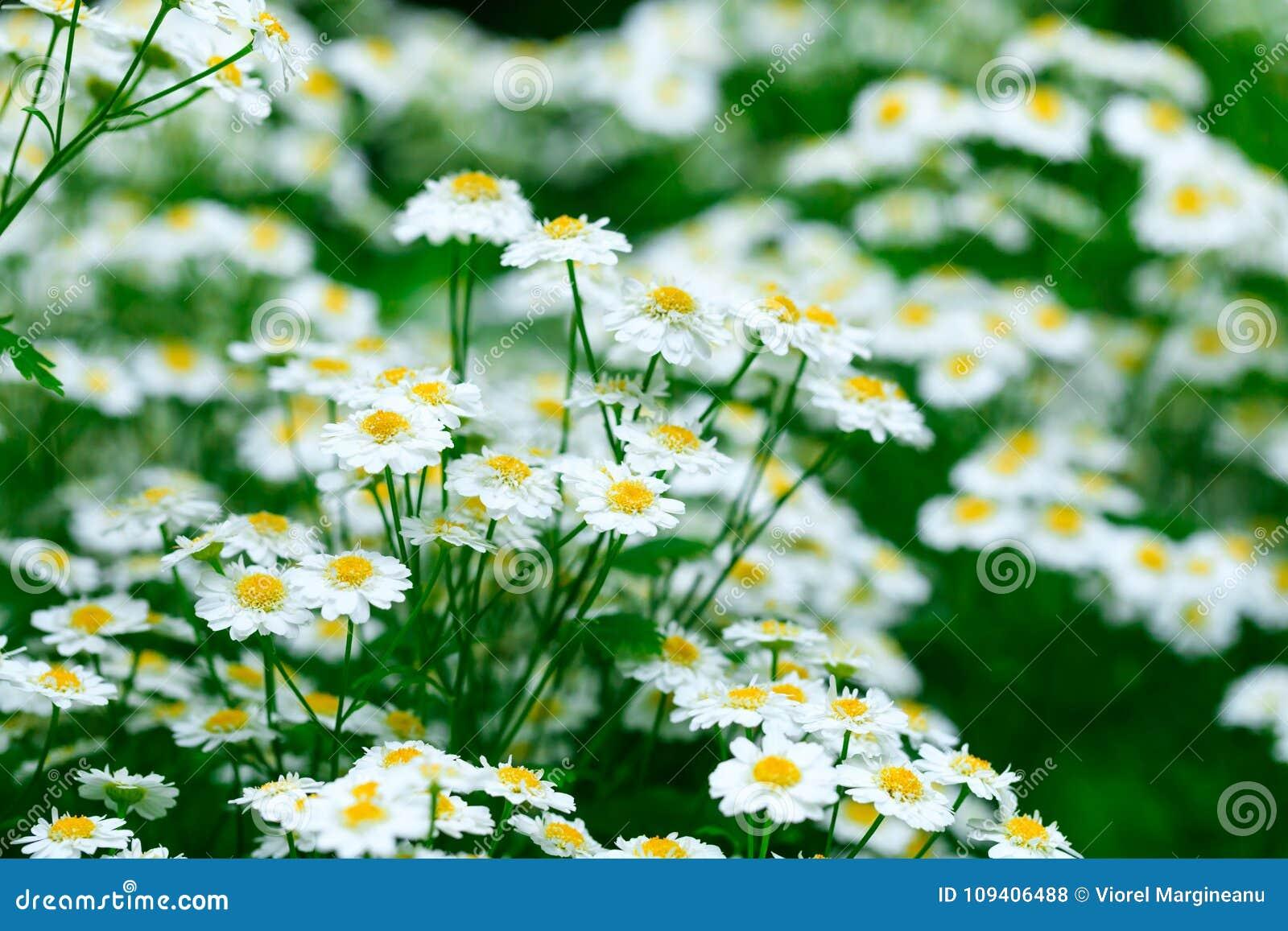 Fondo de la flor de la manzanilla Flores frescas de manzanillas en