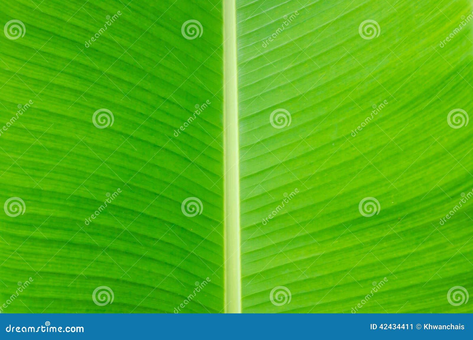 Fondo de la hoja del plátano con las líneas