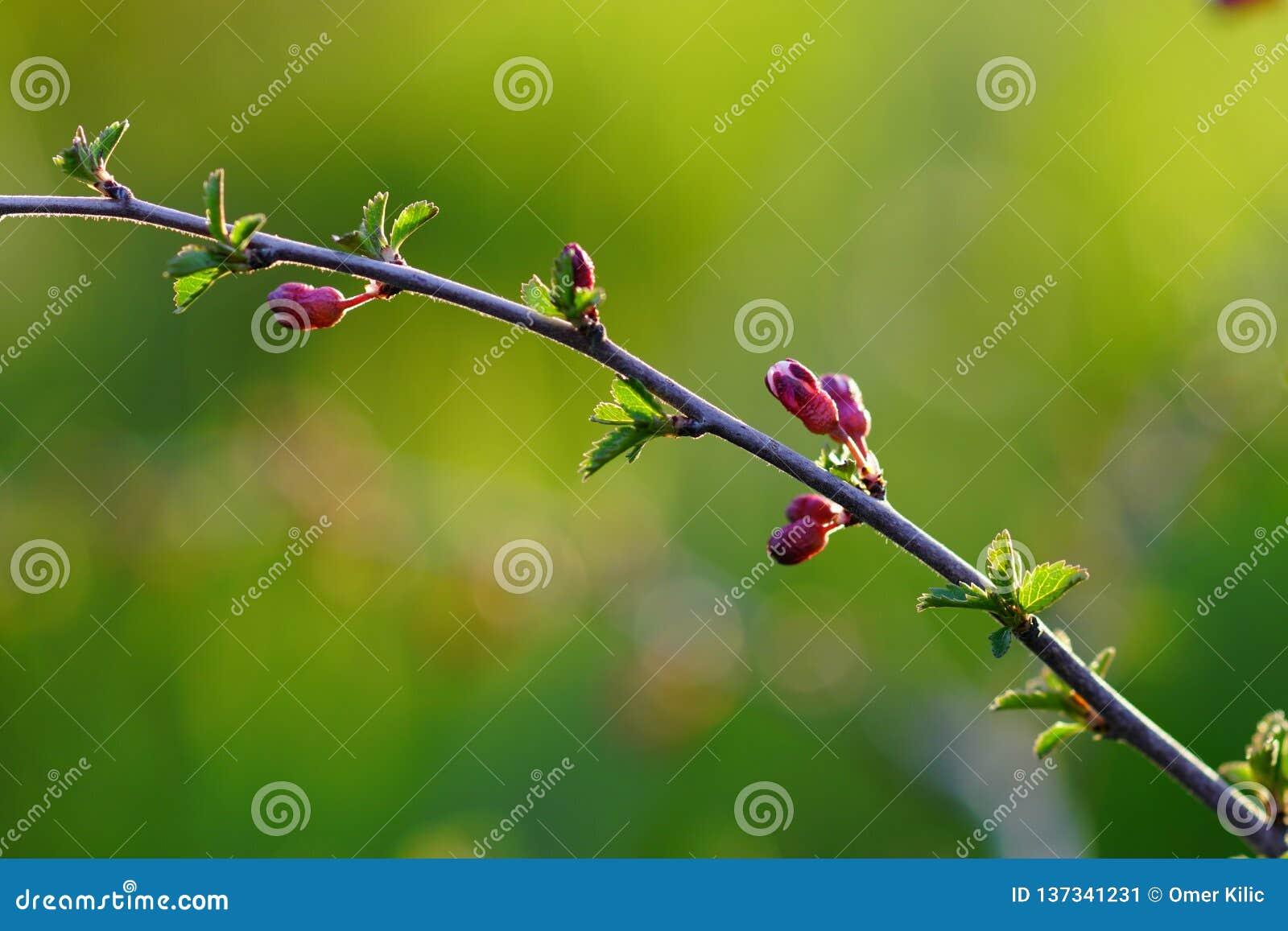 Fondo de la naturaleza de la primavera con el árbol de almendra floreciente, flor del árbol como la muestra del tiempo de primave