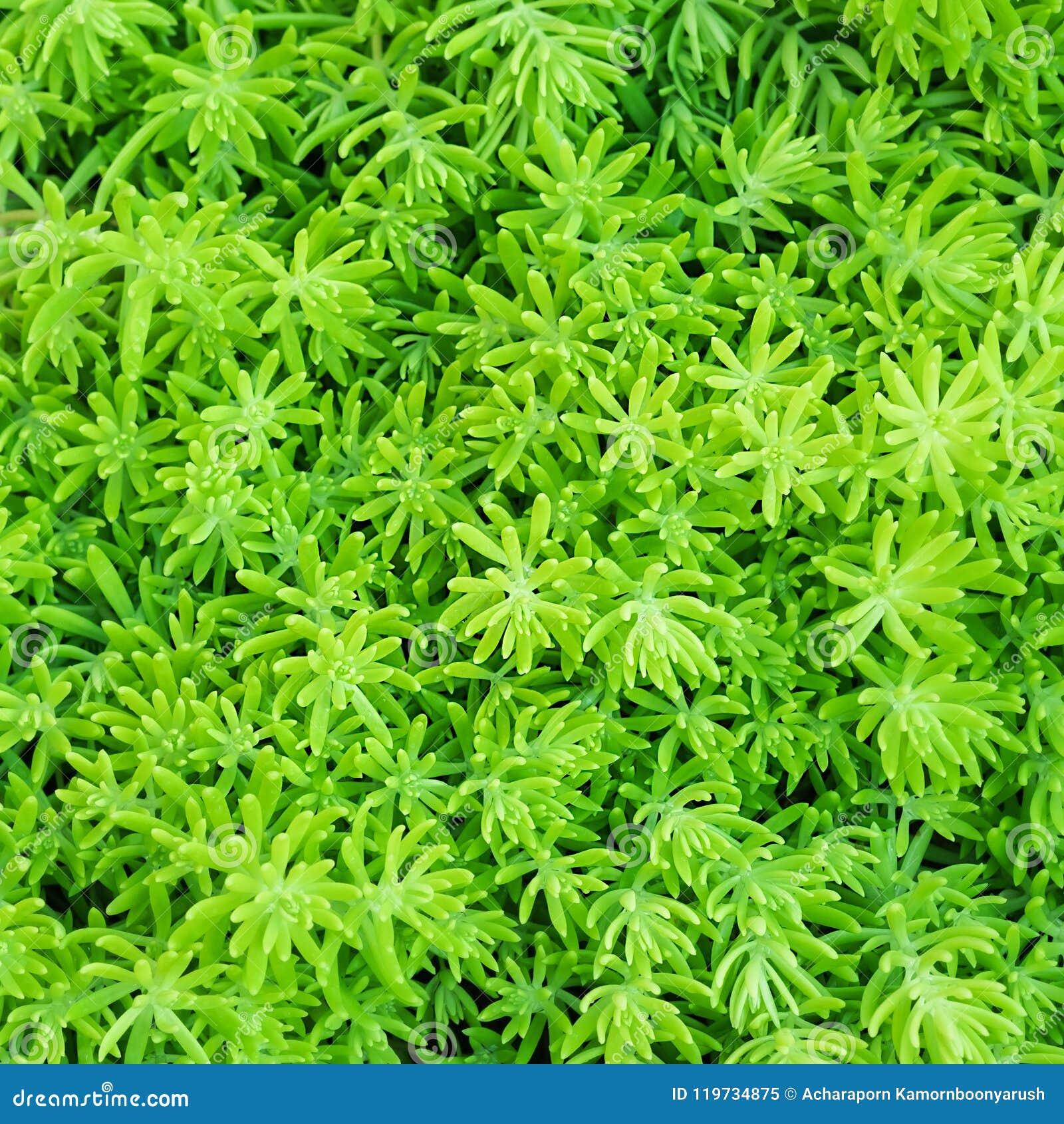 Fondo de la opinión superior del primer de las capas delgadas del verde de la hoja de los helechos de Beautyful