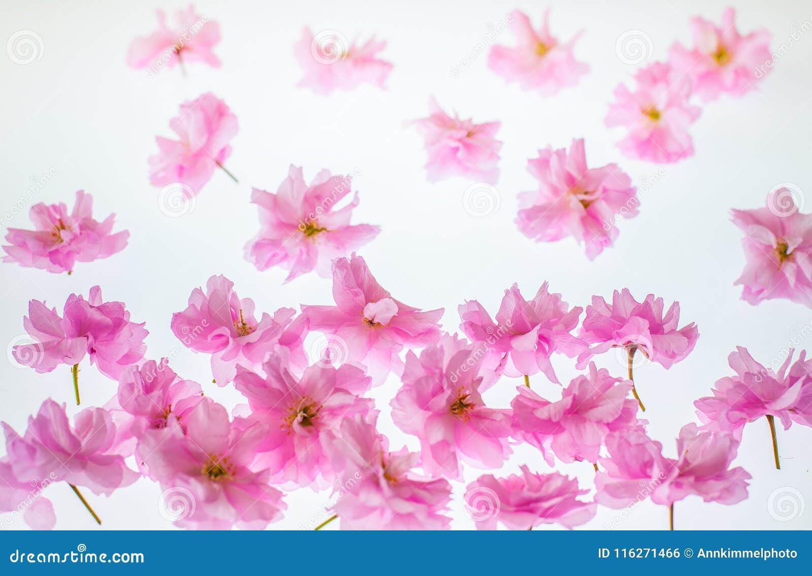 Fondo de la primavera que cultiva un huerto: flor rosado vivo de la manzana