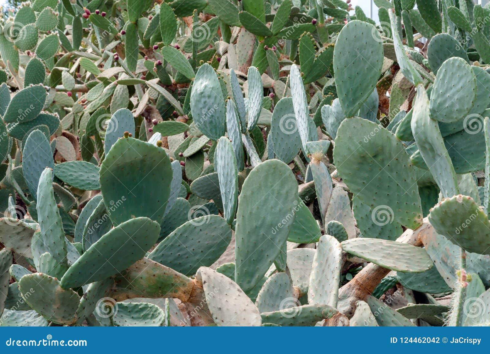 Fondo de las espinas dorsales del cactus en jardín botánico