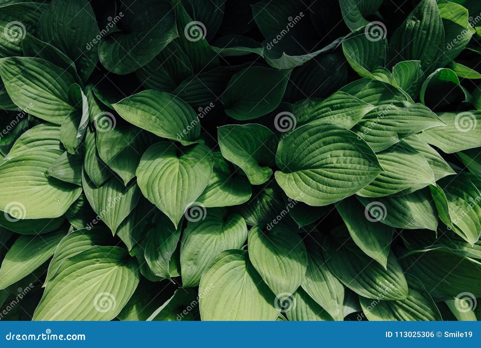 Fondo de las hojas del lirio de los valles