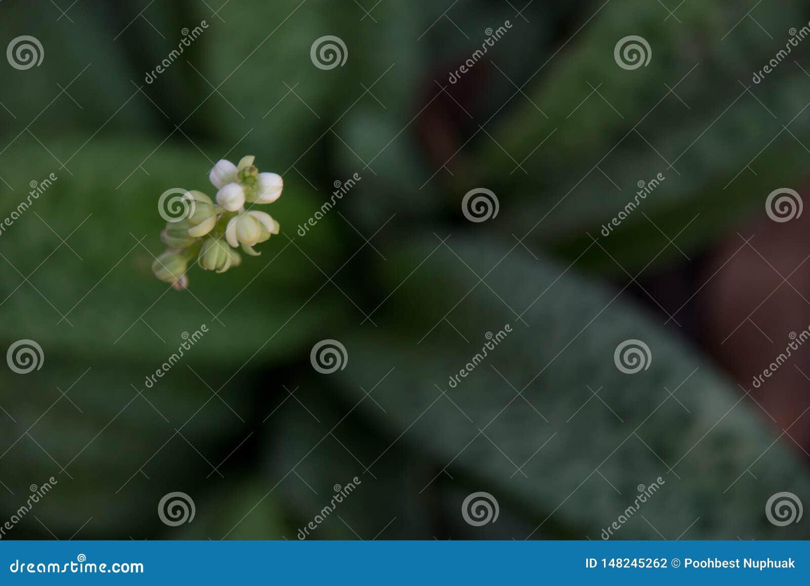 Fondo de madera adornado con los granos de caf?, las flores del frangipani y las hojas