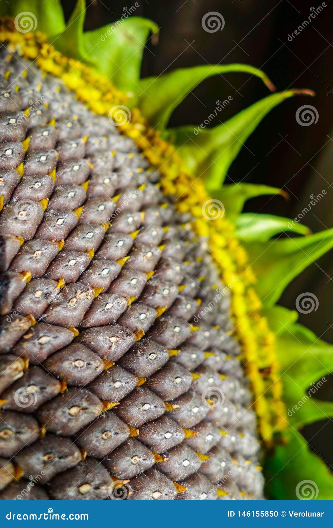 Fondo de semillas maduras en un girasol como concepto de la cosecha