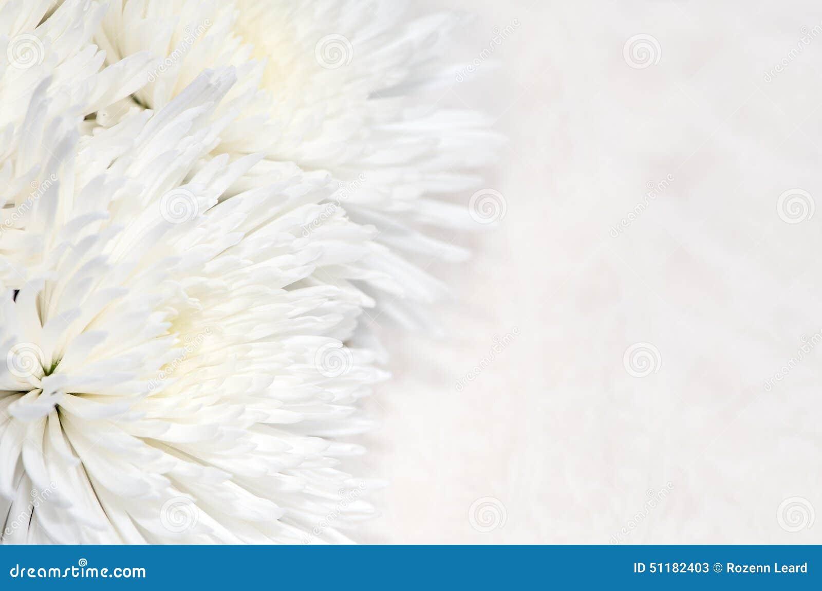 Fondo del crisantemo