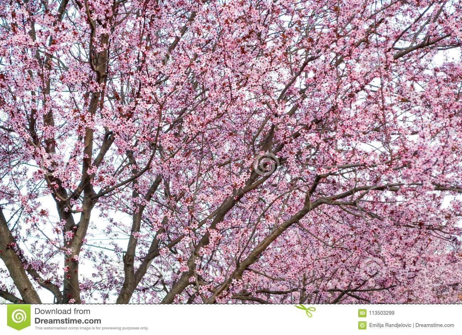 Fondo del fiore del ciliegio con colore rosa adorabile nel parco