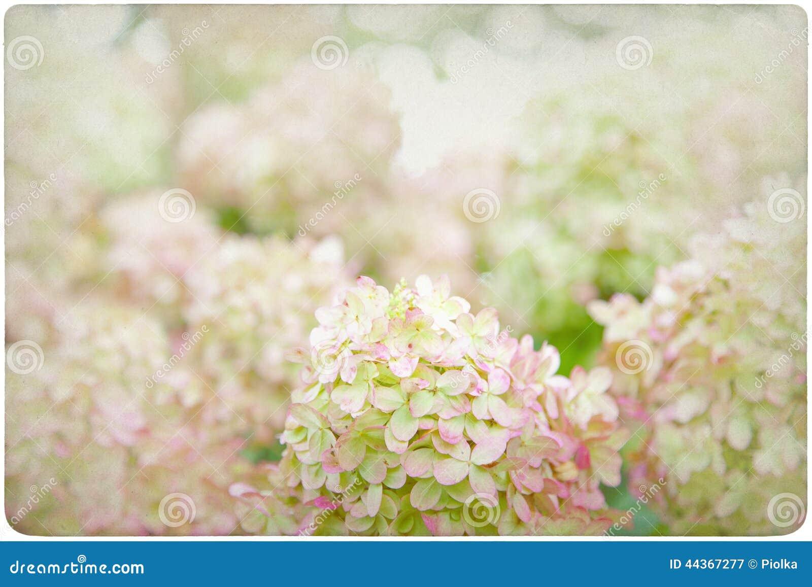 Fondo del fiore dell ortensia