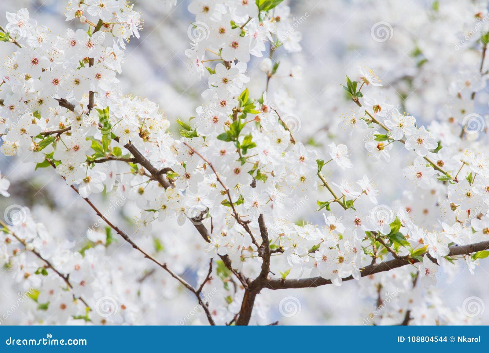 Fiori Bianchi Di Primavera.Fondo Del Fiore Di Sakura Della Primavera Dei Fiori Bianchi E Rosa