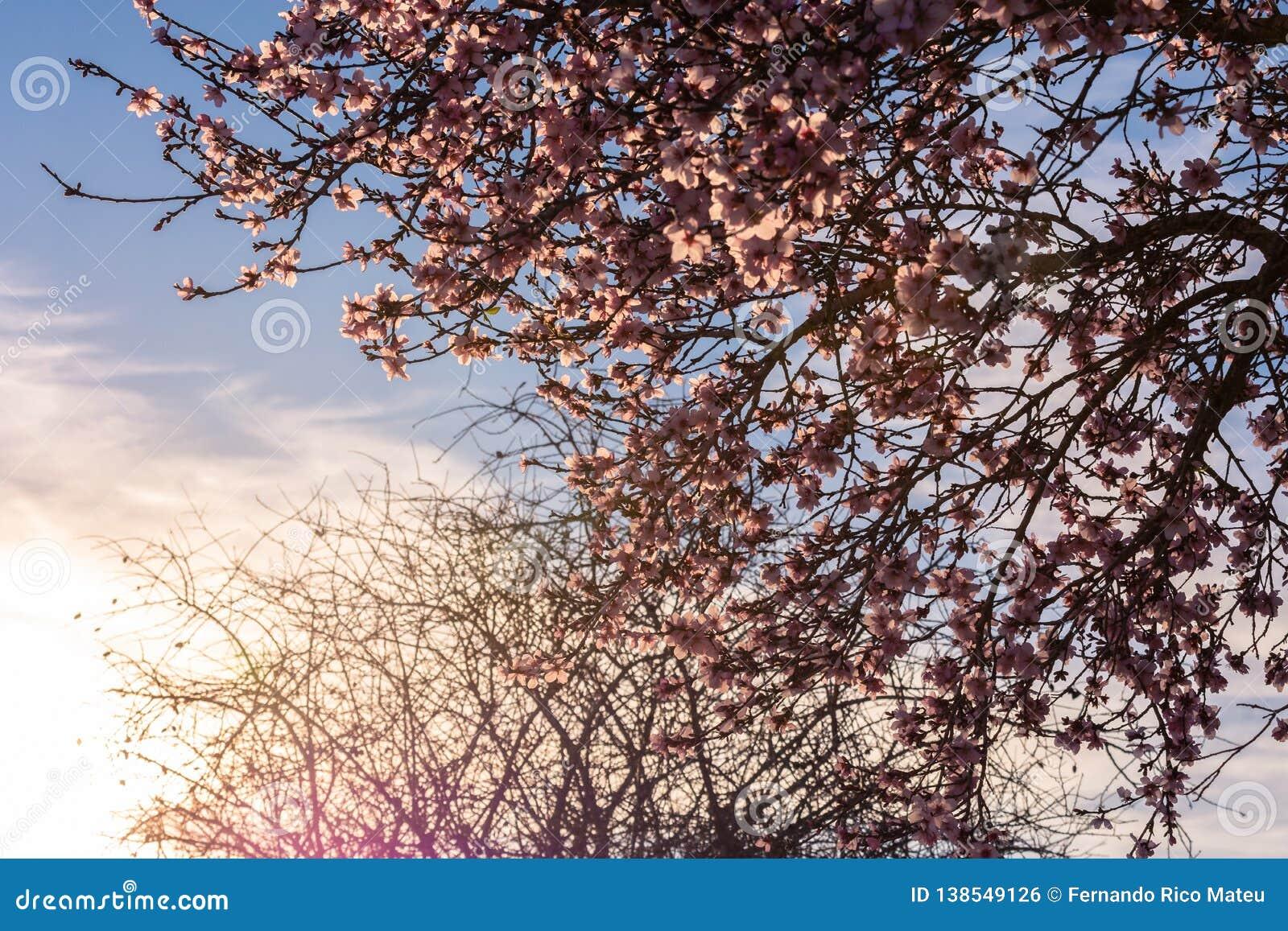 Fondo del flor de la primavera La escena hermosa de la naturaleza con el árbol floreciente y el sol señalan por medio de luces Dí