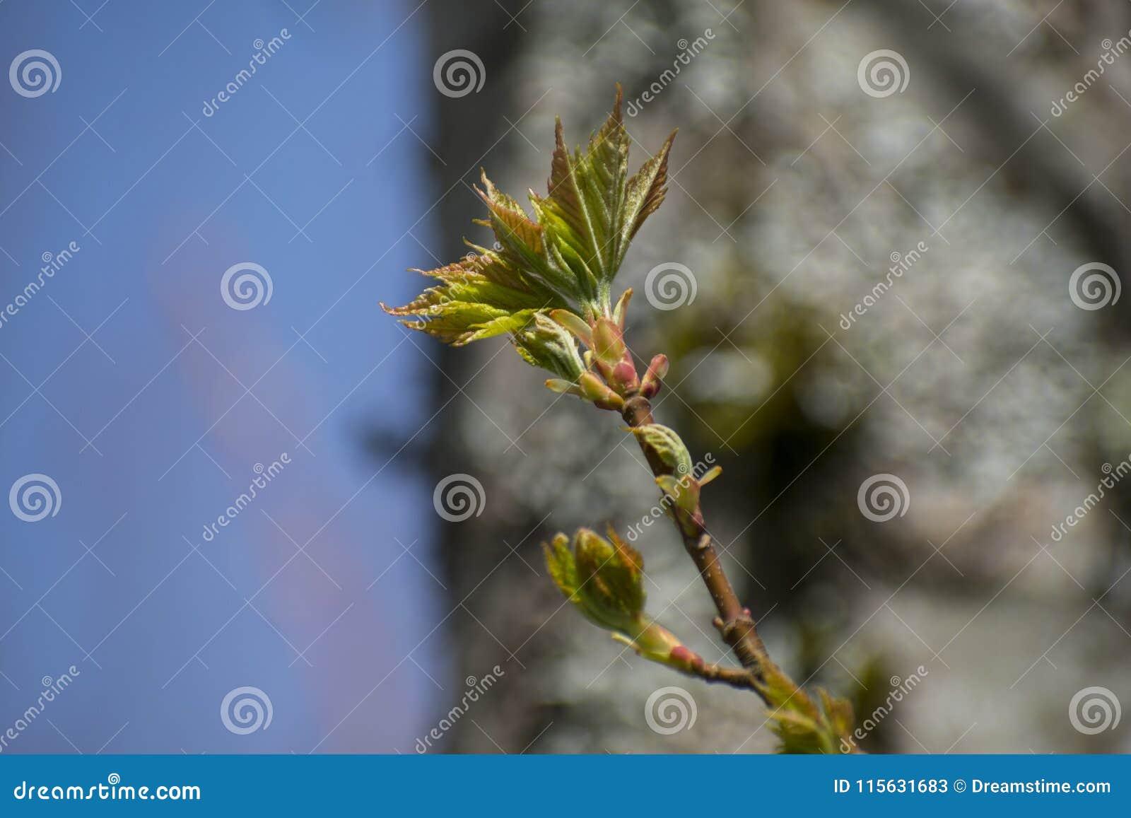 Fondo del giacimento del cielo blu il giorno soleggiato della molla Germogli sull albero Lascia quel germoglio su una molla del r