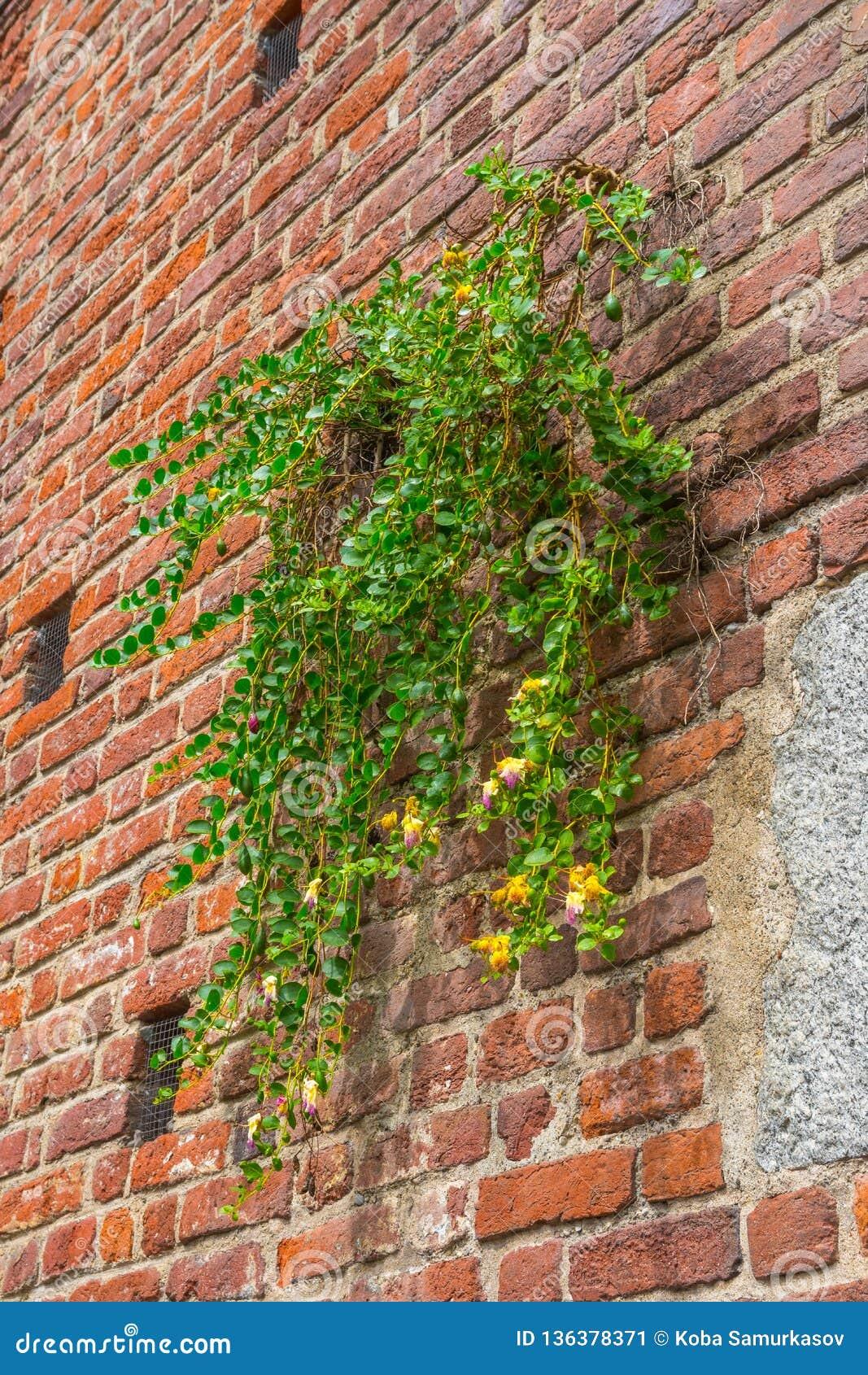 Fondo del muro di mattoni con la pianta, castello di sforza, Milano, Italia