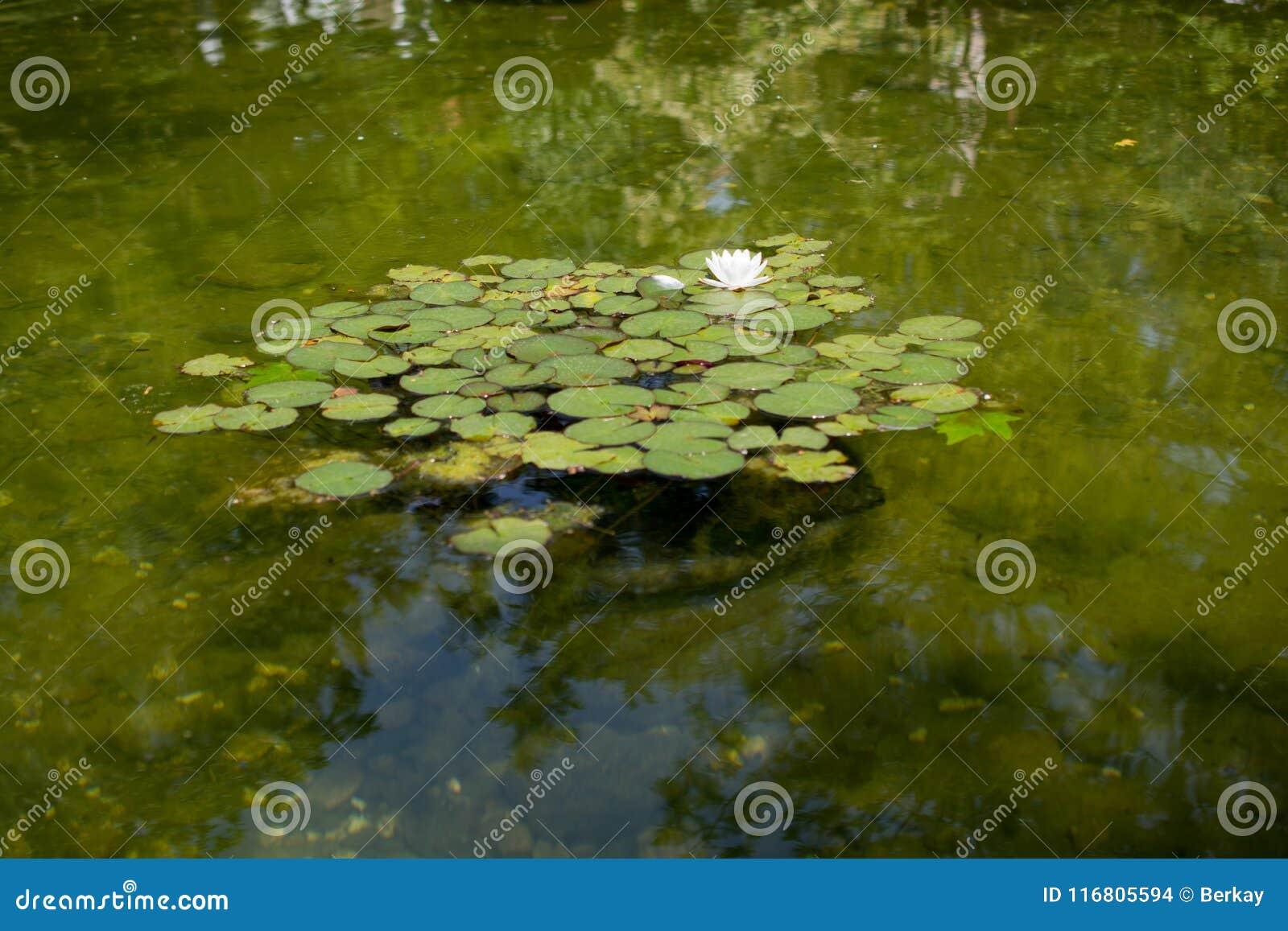 Fondo dell acqua verde dello stagno