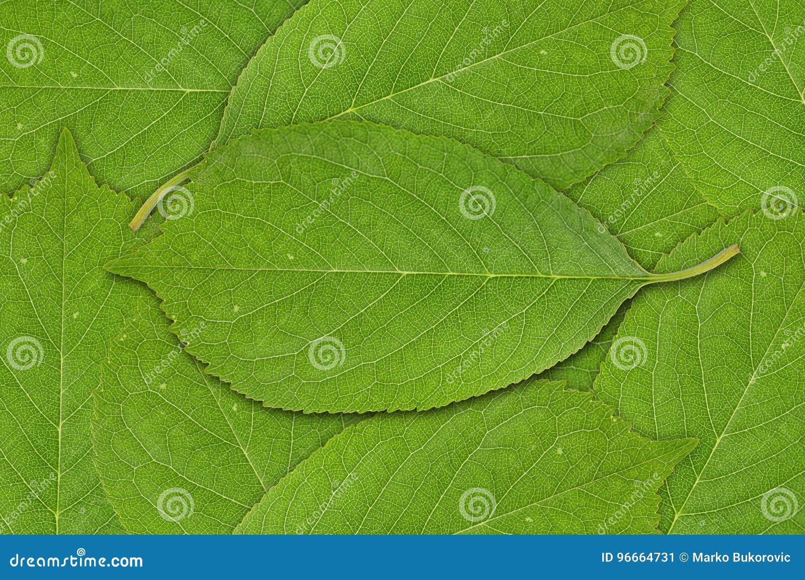 Fondo della foglia verde del ciliegio della molla immagine - Foglia canadese contorno foglia canadese ...