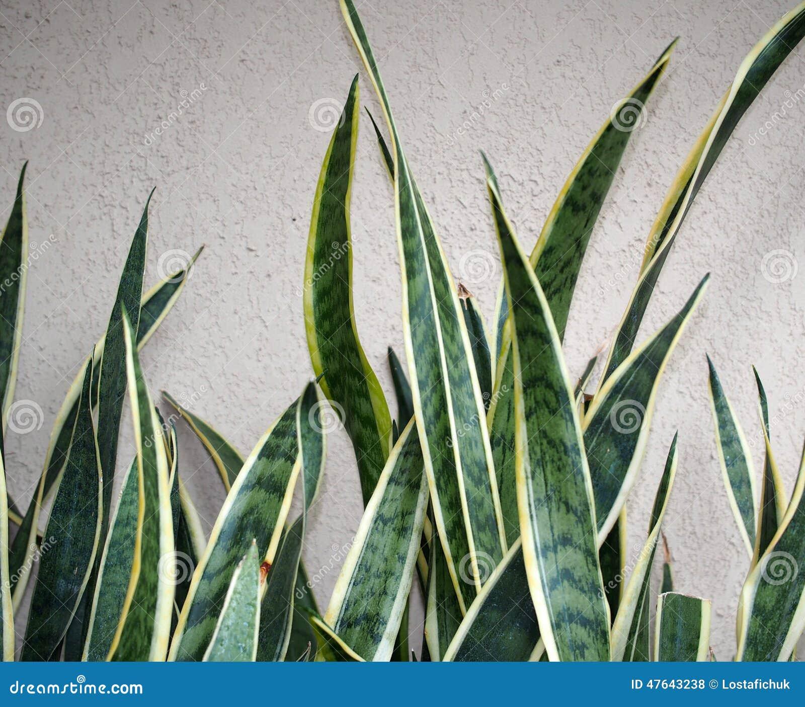 ... gialla e verde variegata di Sansevaria contro una parete bianca