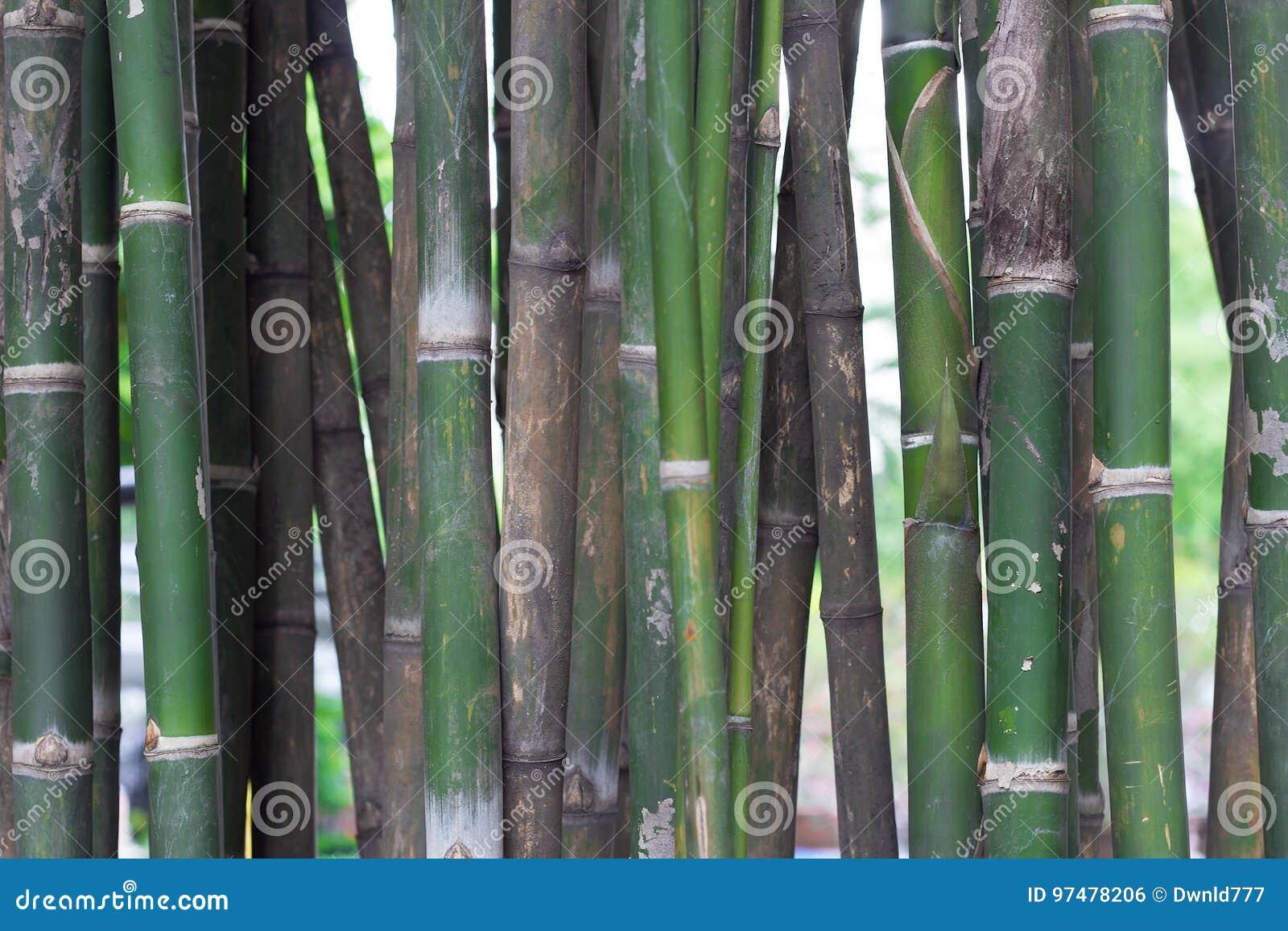 Fondo di bambù degli alberi
