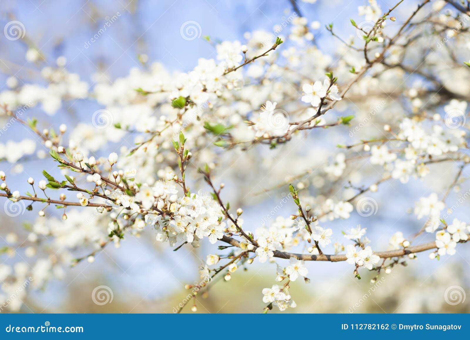 Fiori Bianchi Di Primavera.Fondo Di Bellezza Di Primavera Fiori Bianchi Di Fioritura Degli