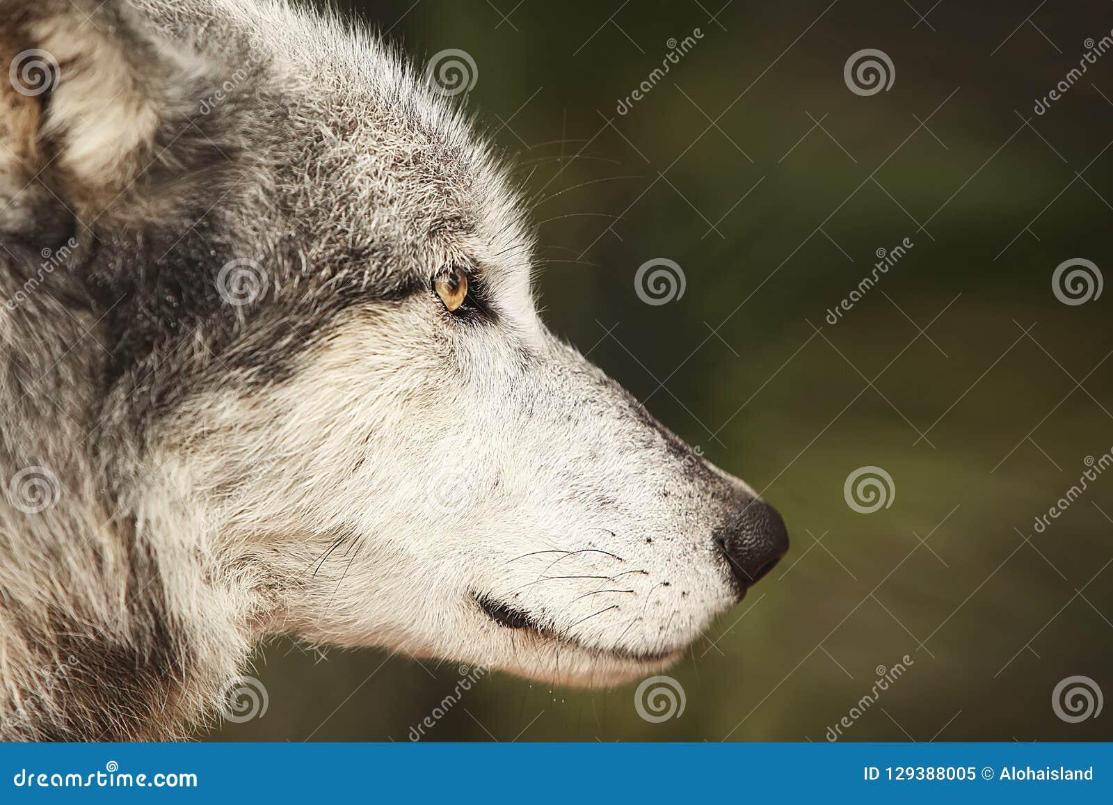 Fondo di fotografia digitale di Grey Wolf Profile
