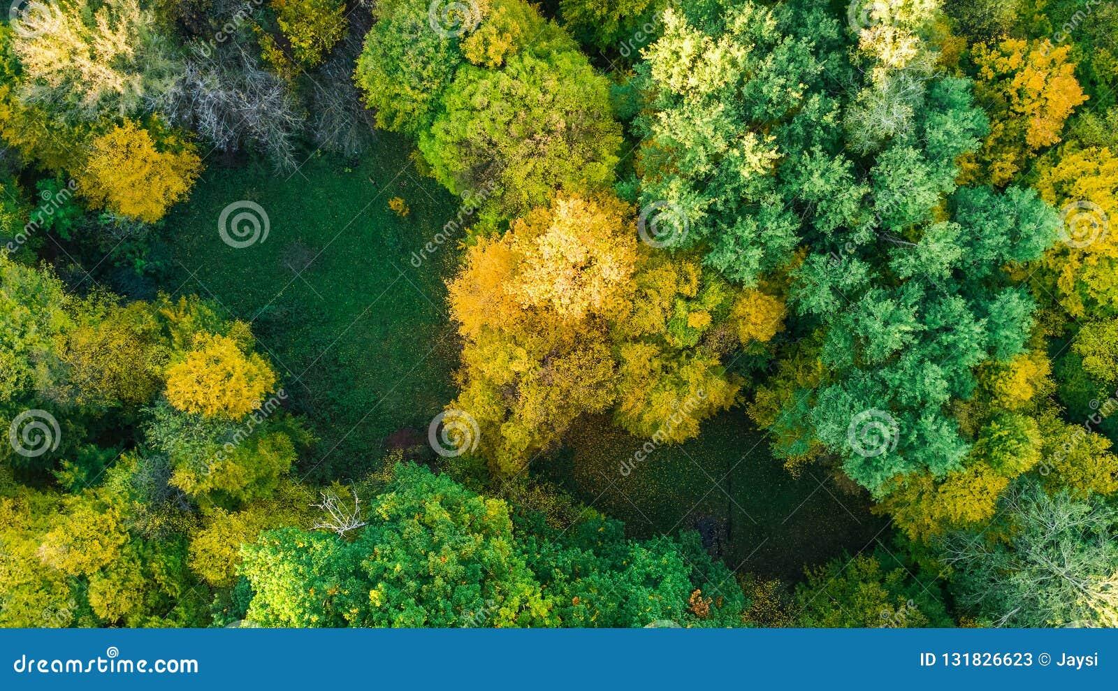 Fondo dorato di autunno, vista aerea del fuco di bello paesaggio della foresta con gli alberi gialli da sopra