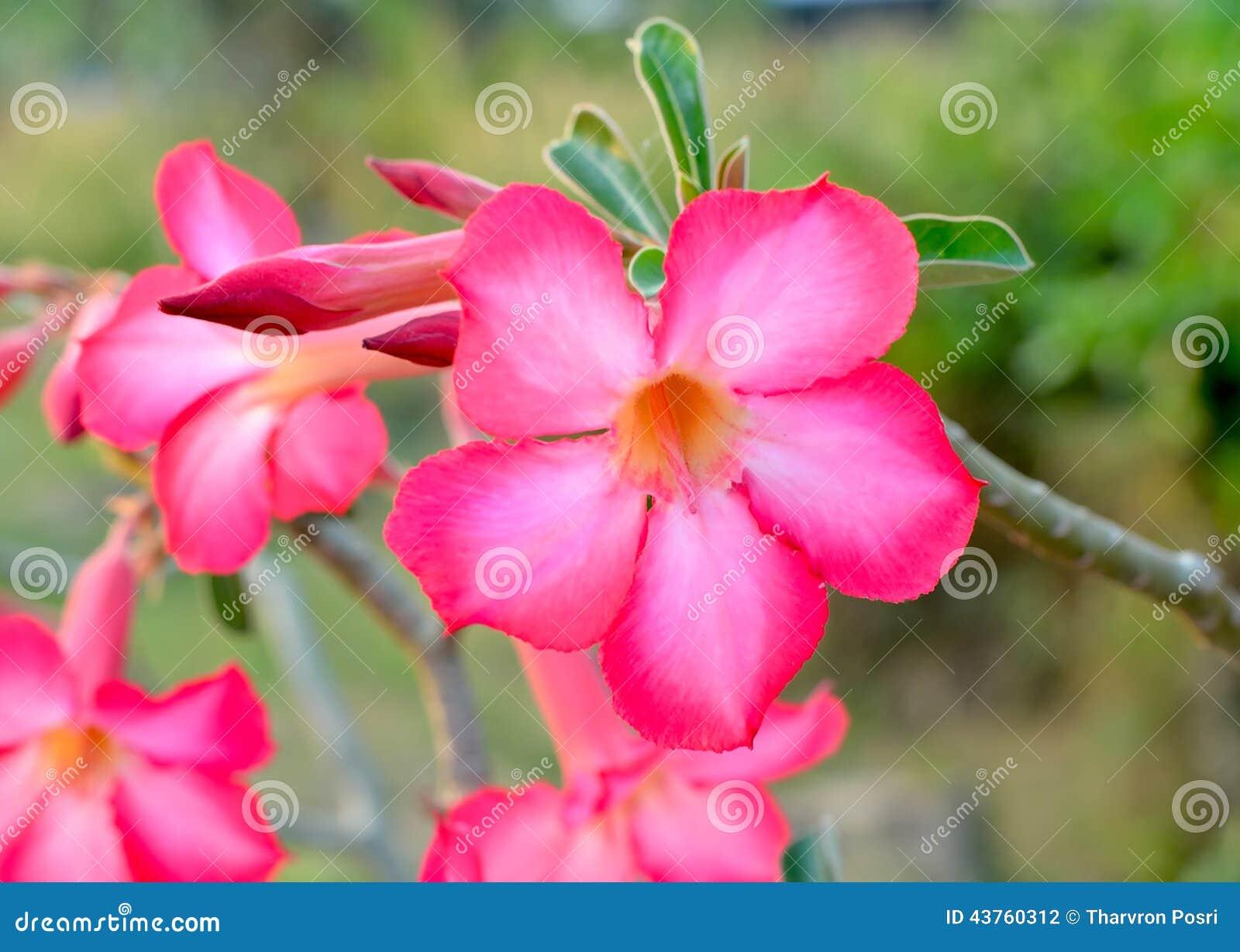 de la Flor Desierto Rose