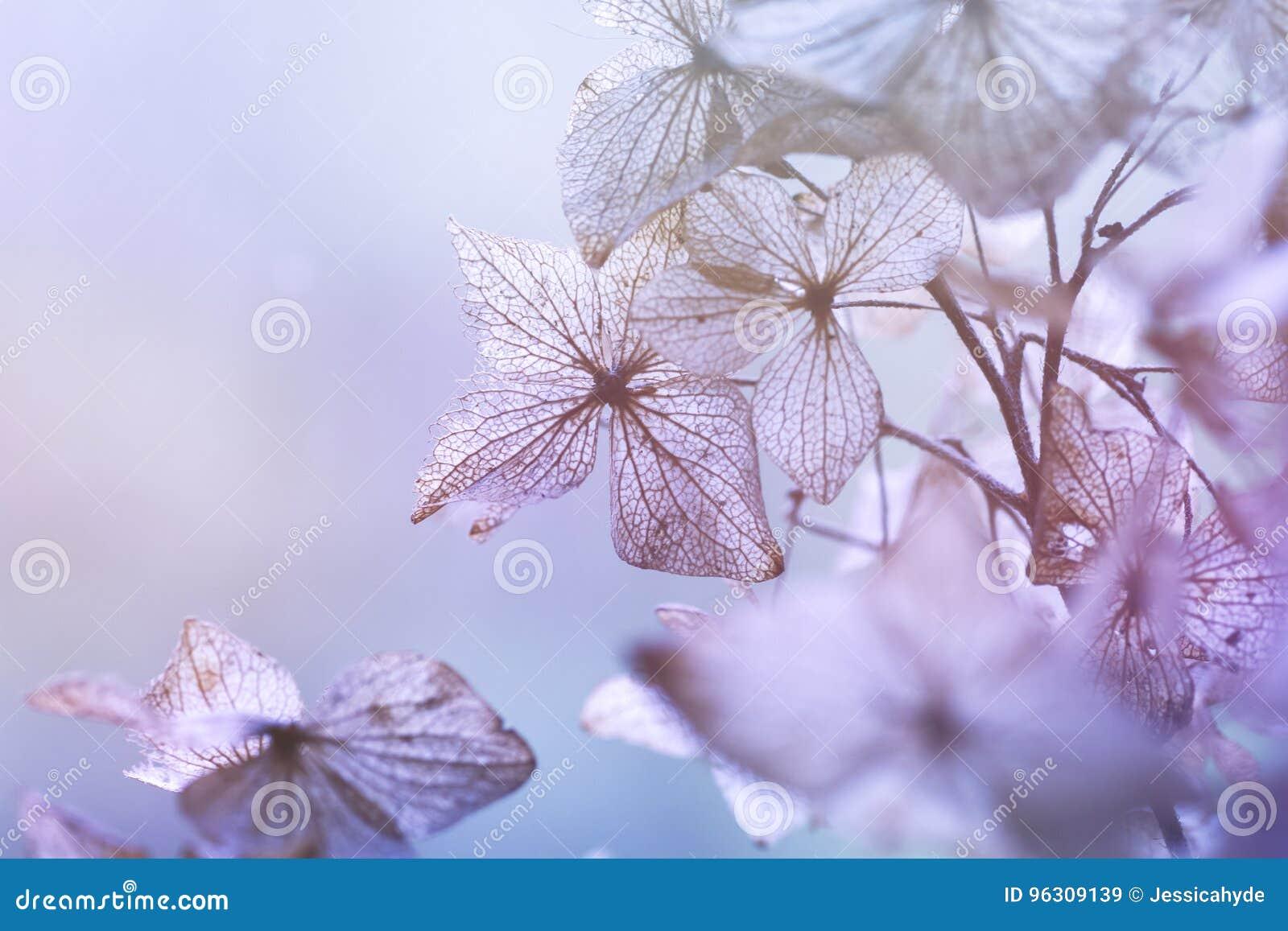 Fondo floral de la hortensia seca