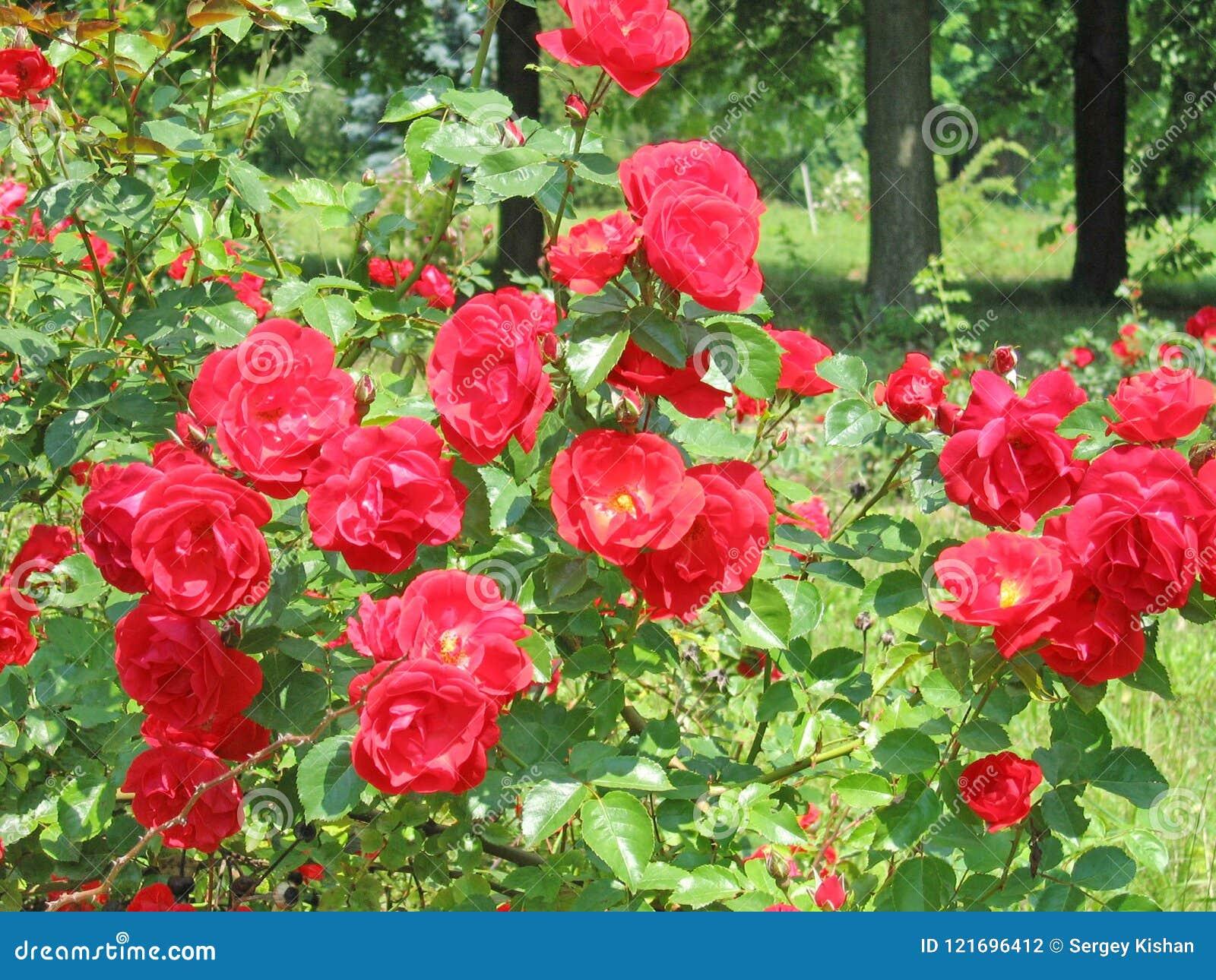 Fondo floral del paisaje del verano con las rosas rojas