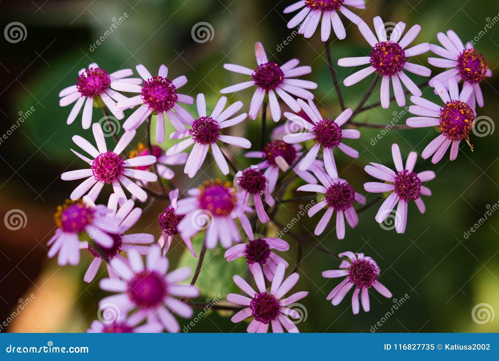 Fondo floral del webbii violeta del Pericallis de las flores salvajes