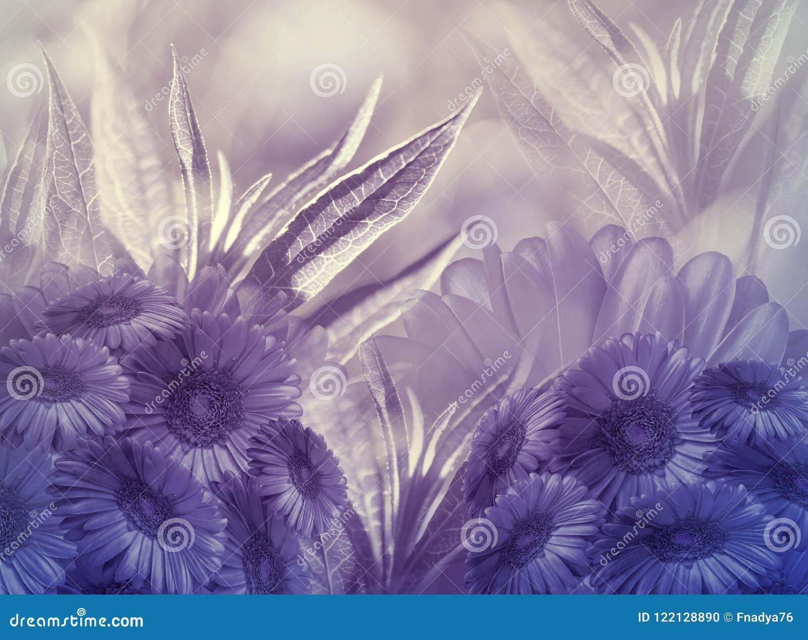 Fondo floral Florece margaritas púrpuras en un fondo púrpura-blanco Tarjeta de felicitación