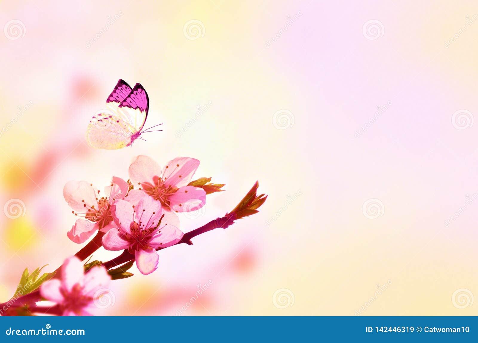 Fondo floral hermoso del extracto de la primavera de la naturaleza y de la mariposa Rama del melocot?n floreciente en fondo rosa